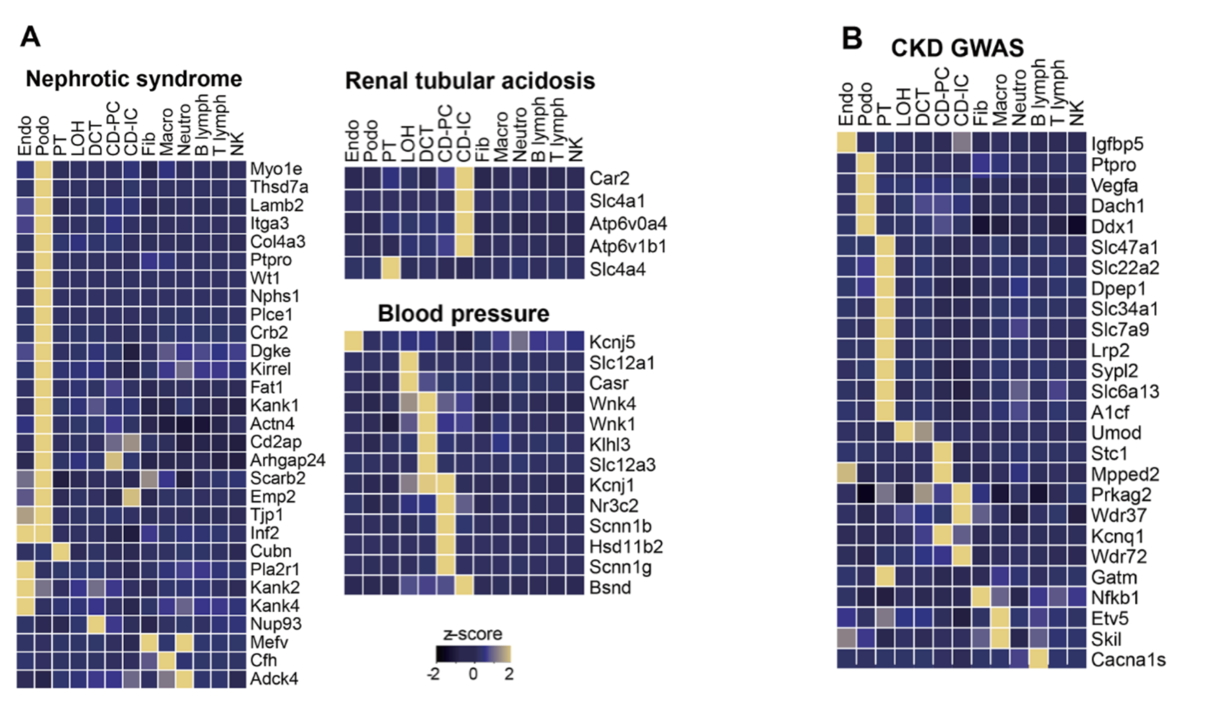 Susztak Figure 2.   (A) Heatmaps of genes associated with monogenic diseases (labeled on right) and cell type (labeled on top). Most genes are expressed in podocytes for nephrotic syndrome and intercalated cells of the collecting duct in renal tubular acidosis. (B) Heatmaps of GWAS genes (labeled on right) and cell type (labeled on top).