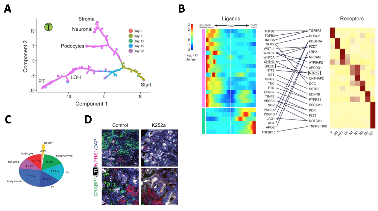 #NephJC Figure 5   . (A) Adapted from Humphreys Figure 6. Pseudotemporal ordering reveals podocytes branching off before the neuronal-mesenchyme cell fates. (B) Adapted from Humphreys Figure 7A. Ligand-receptor analysis identified a BDNF-NTRK2 interaction, with NTRK2 expressed exclusively in neurons and thus suitable for inhibition to downregulate neuronal differentiation. (C) Adapted from Humphreys Figure 7D. Reduction of neuronal cell population to 2.1% after inhibiting BDNF pathway with K252a. (D) Adapted from Humphreys Figure 7F. IF staining confirming reduction in neuronal marker CRABP1 after K252a treatment.