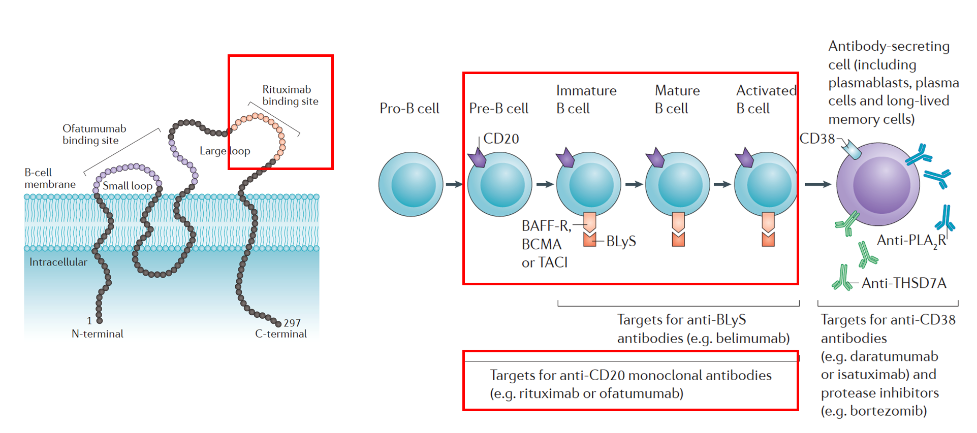 Adapted from  Ruggenenti et al.,  Nature Reviews Nephrology , 2017 . The left panel shows the rituximab binding site on the large loop of the CD20 molecule of a B cell. The right panel shows which types of cells would be targeted by rituximab: CD20 positive pre-B cells, immature B cells, mature B cells, and activated B cells. Plasma cells and long-lived memory cells would not be targeted due to absence of CD20.