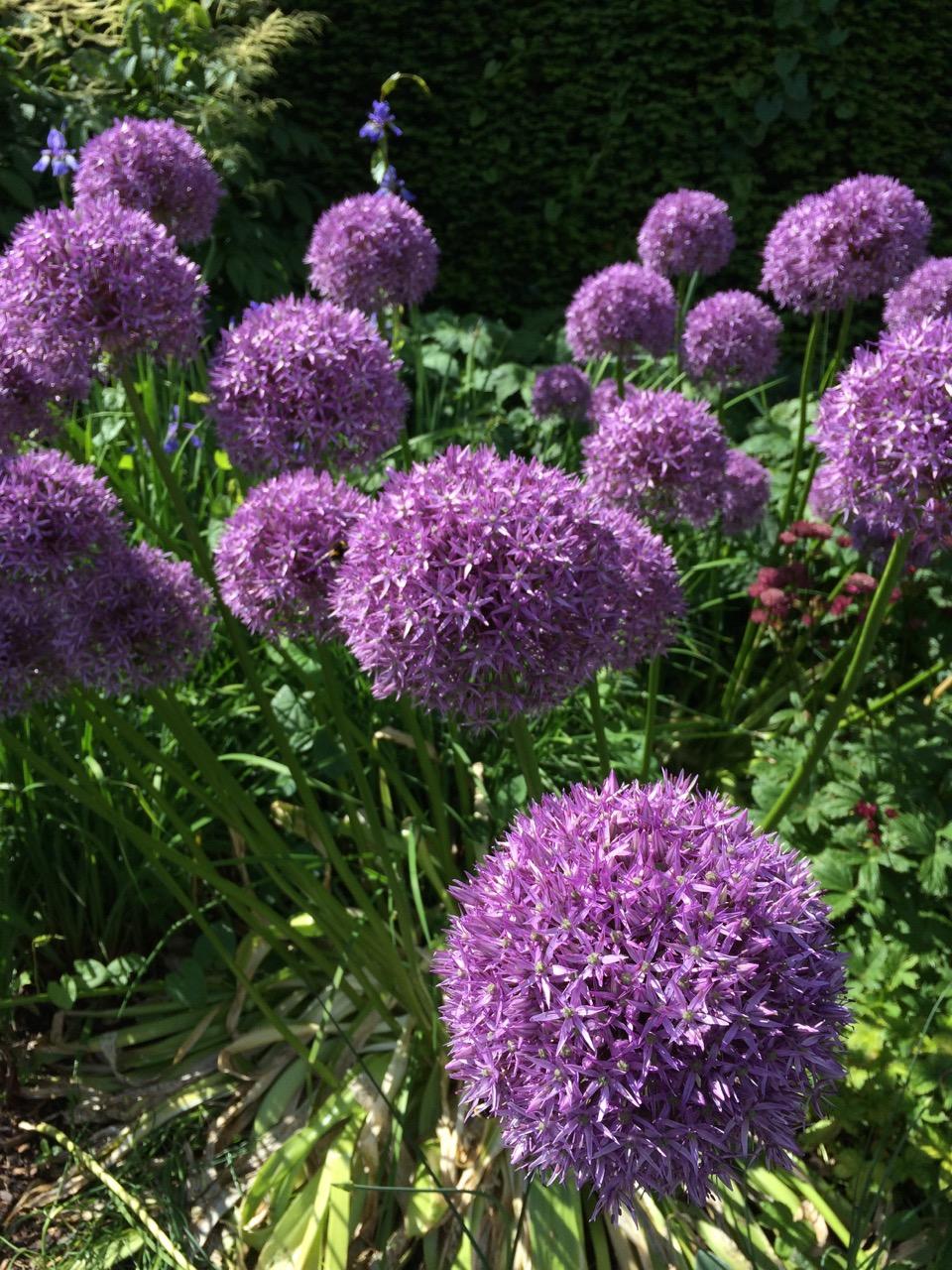 irish purple garden