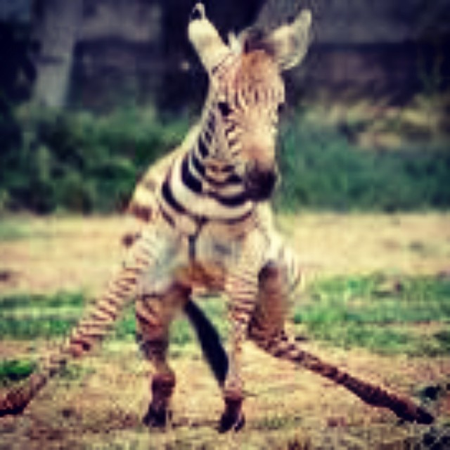overtraining zebra