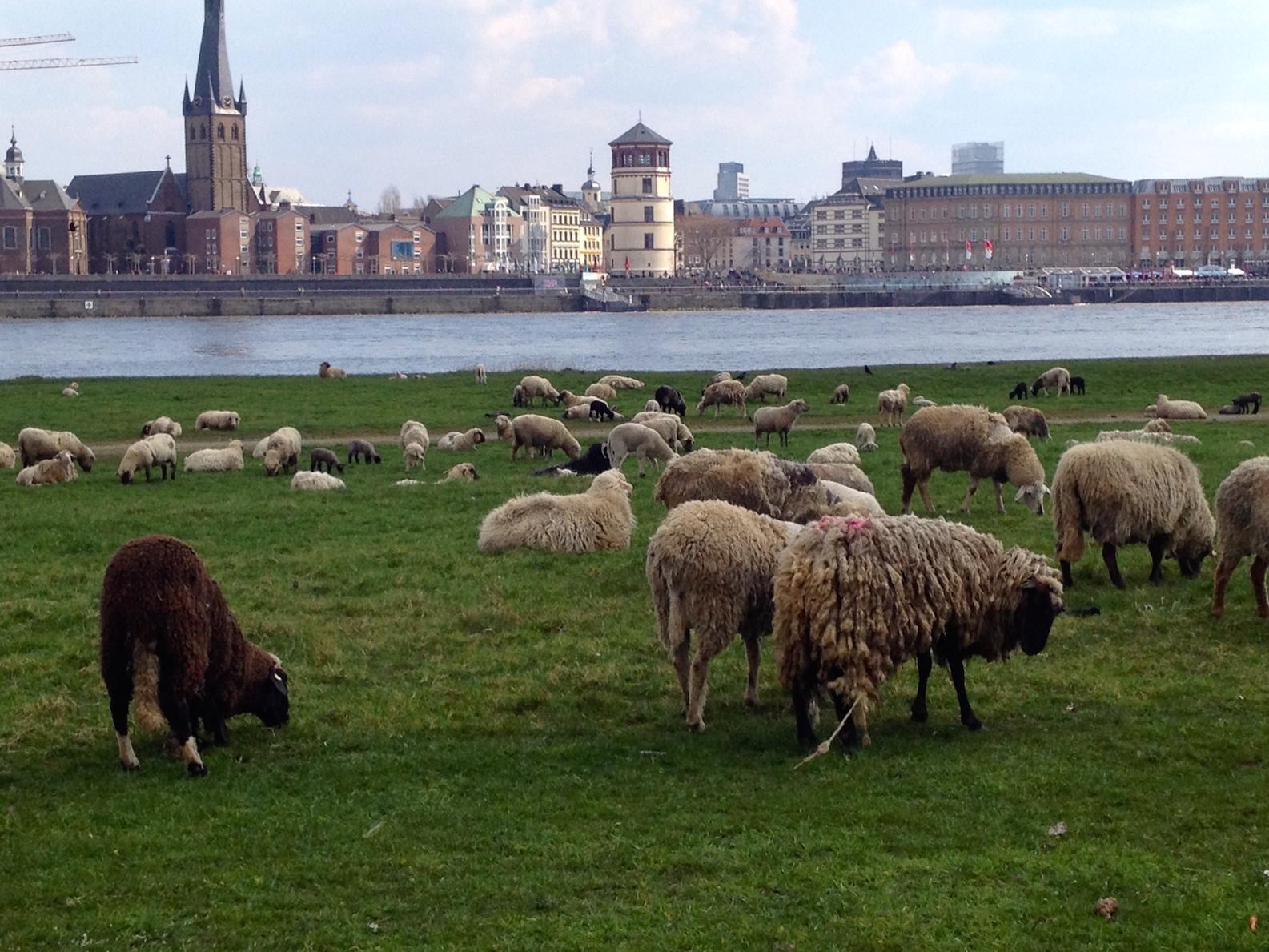 Looking towards the Altstadt from across the Rhine