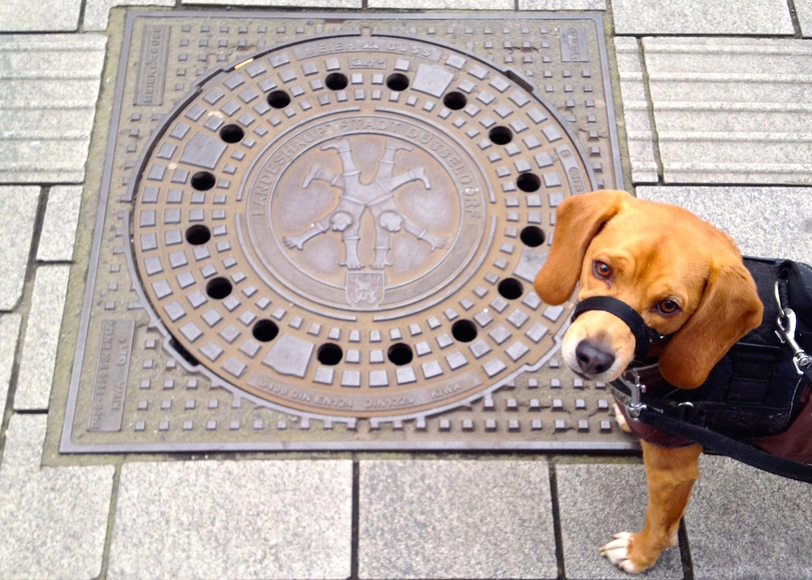 "Leo in front of a manhole cover featuring the cartwheeling children of Düsseldorf (note that he's wearing a ""gentle leader"" to curb his headstrong Beagle habit of pulling, not a muzzle)"