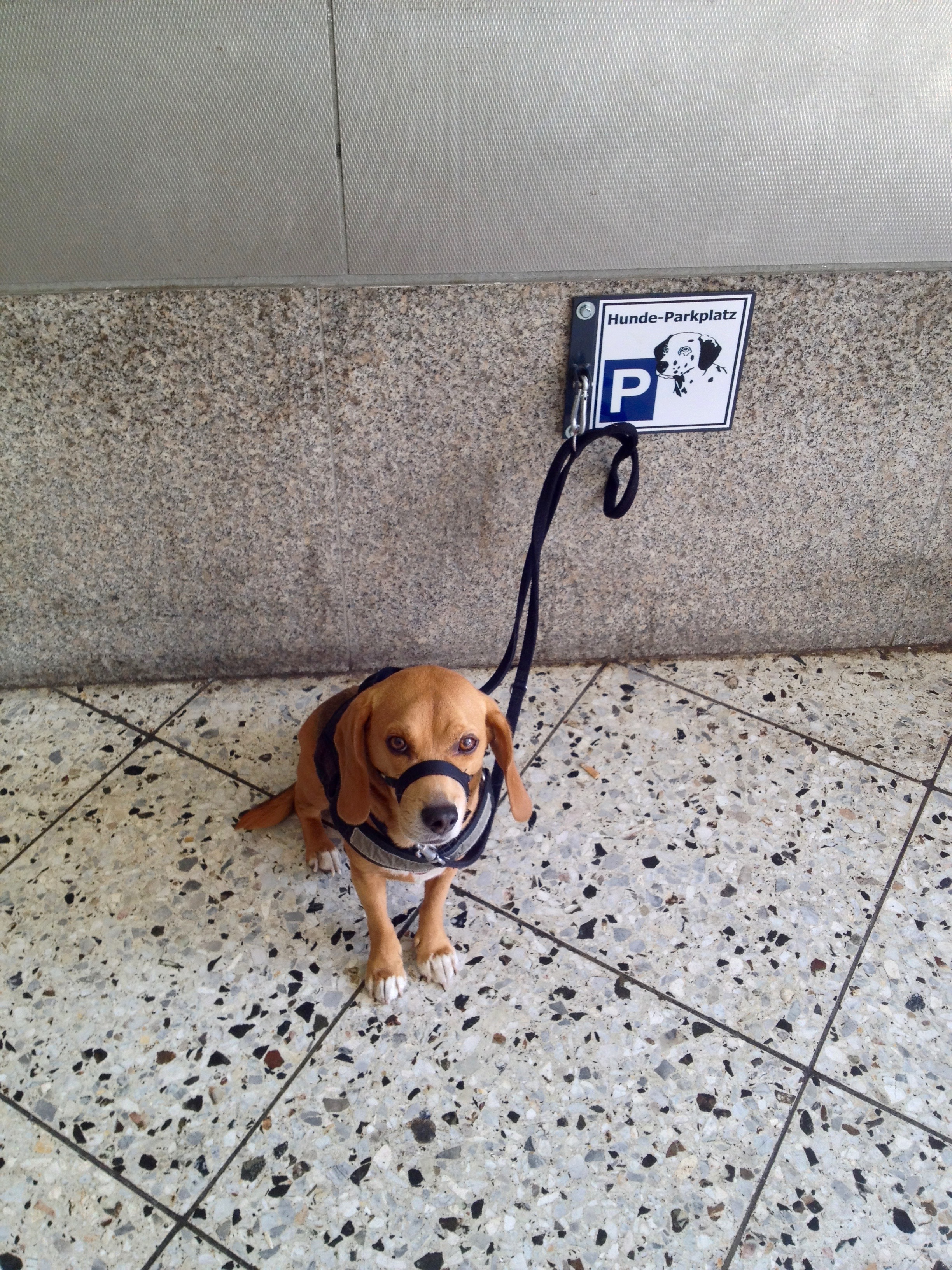 """Leo waiting patiently for me at the """"dog parking spot"""" (Note that he's wearing his Gentle Leader which I highly recommend if your dog tugs on his leash while walking.)"""