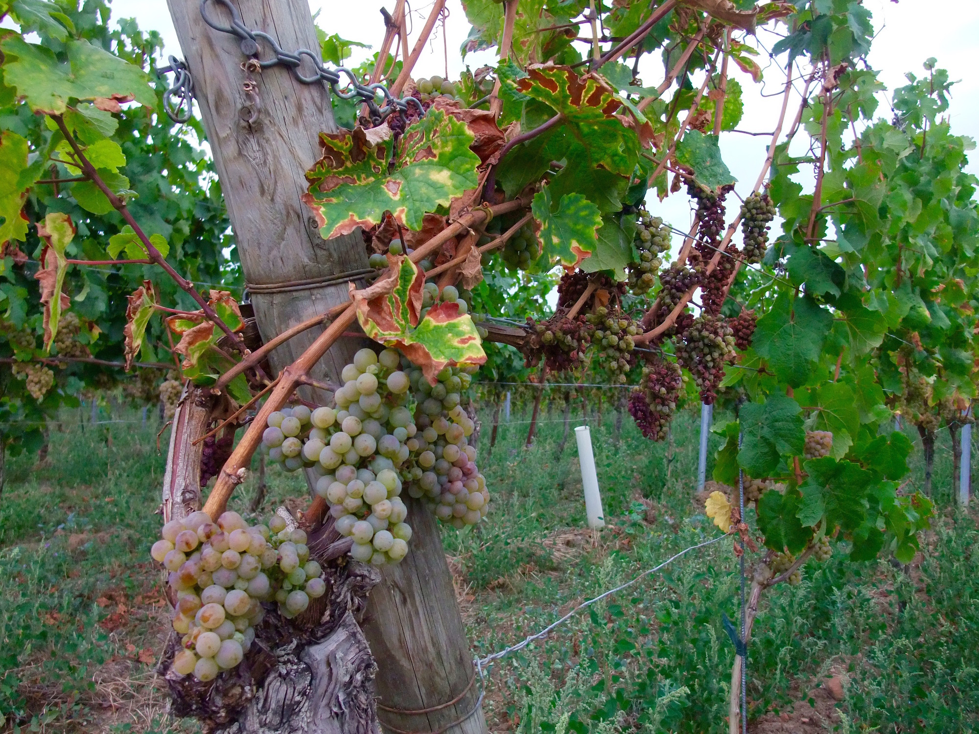 Walking along the vineyards around   Deidesheim