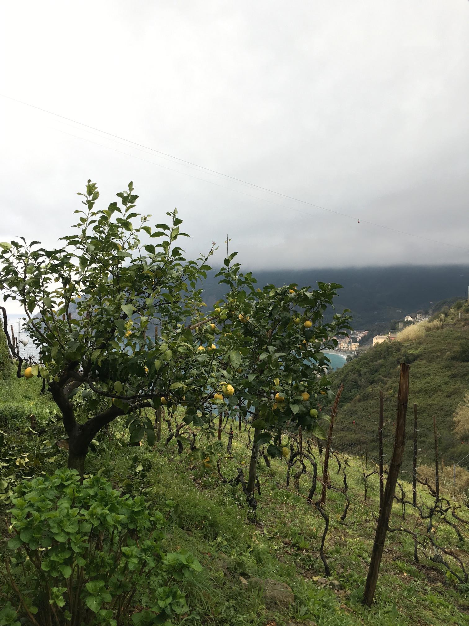 The lemon groves
