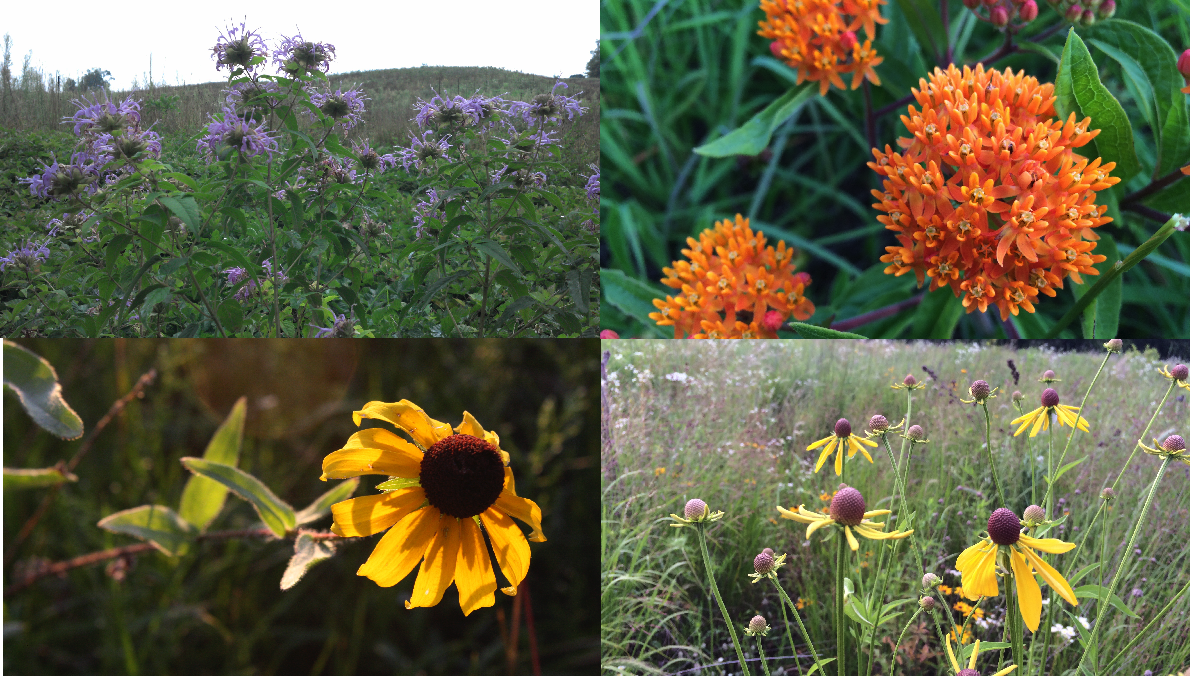 Top L to R: Wild Bergamot, Butterfly Weed; Bottom L to R: Black-eyed Susan, Grey-headed Coneflower