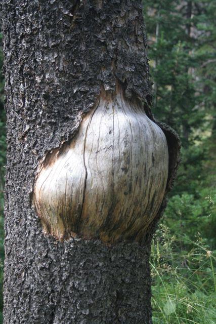 Herniated Tree, (Southern Wyoming)