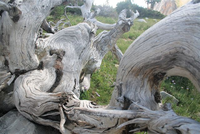 Self-Pleasuring Tree, (Southern Wyoming)