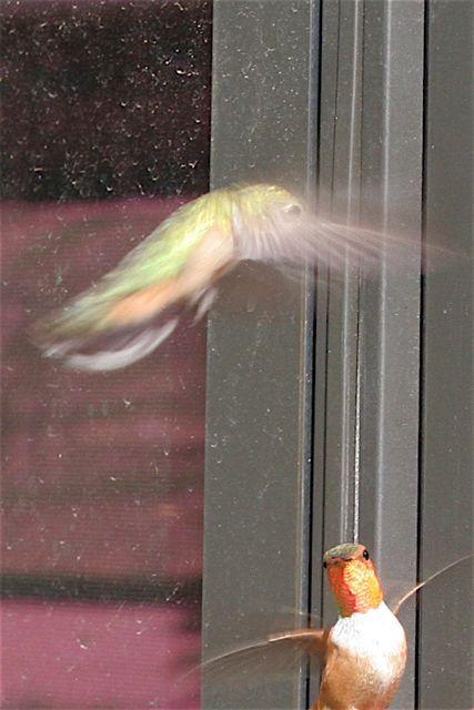 Hummingbird Battle, (Southern Wyoming)