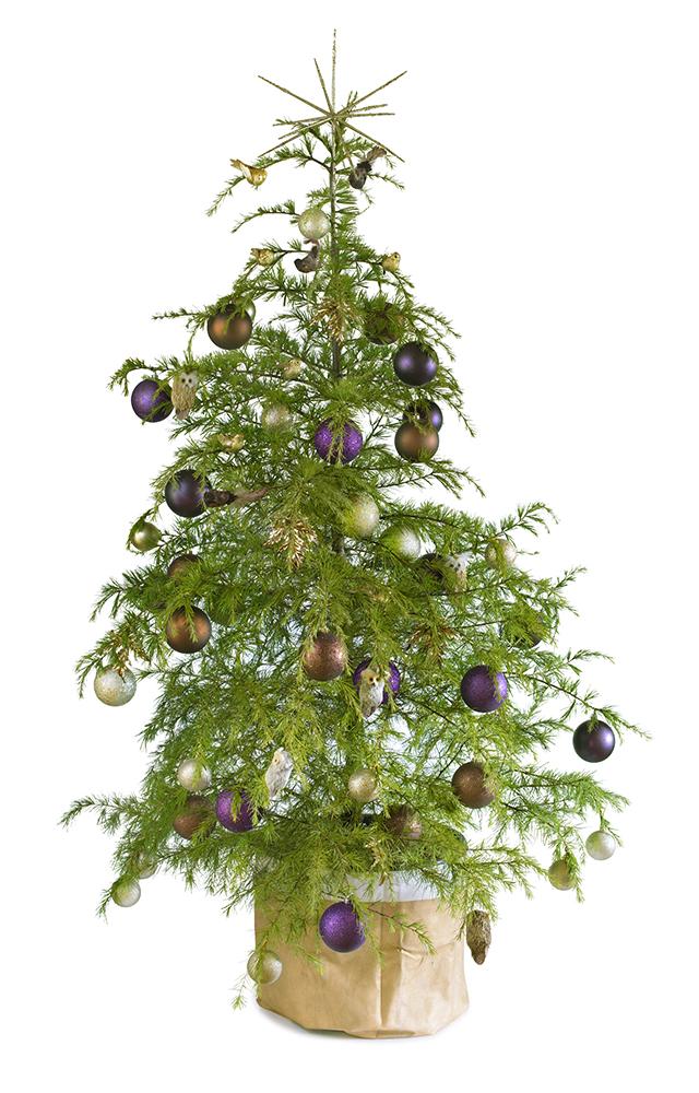 Woodland real potted Christmas tree