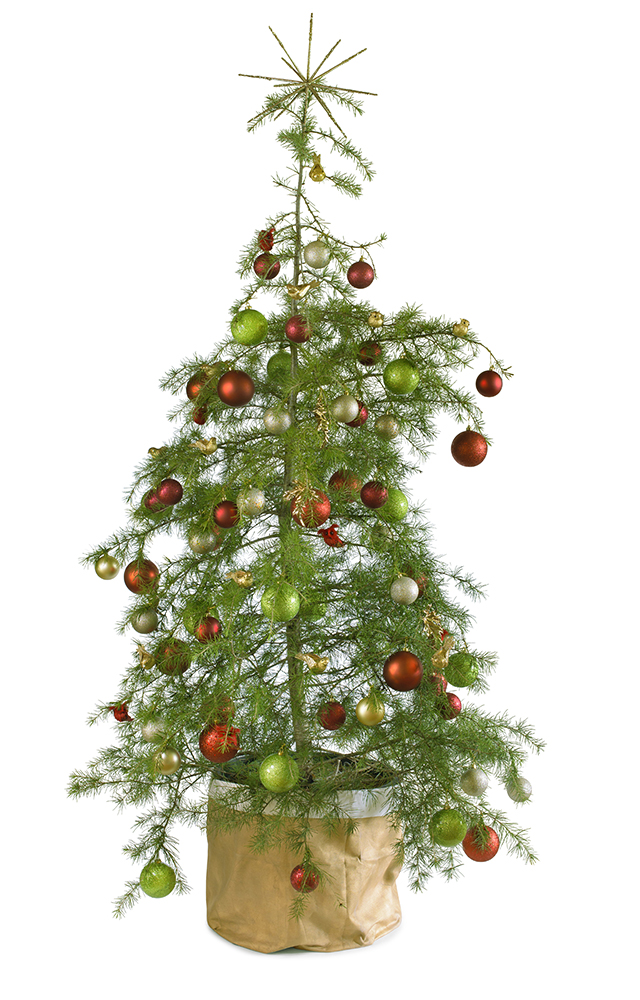 Traditional real potted Christmas tree