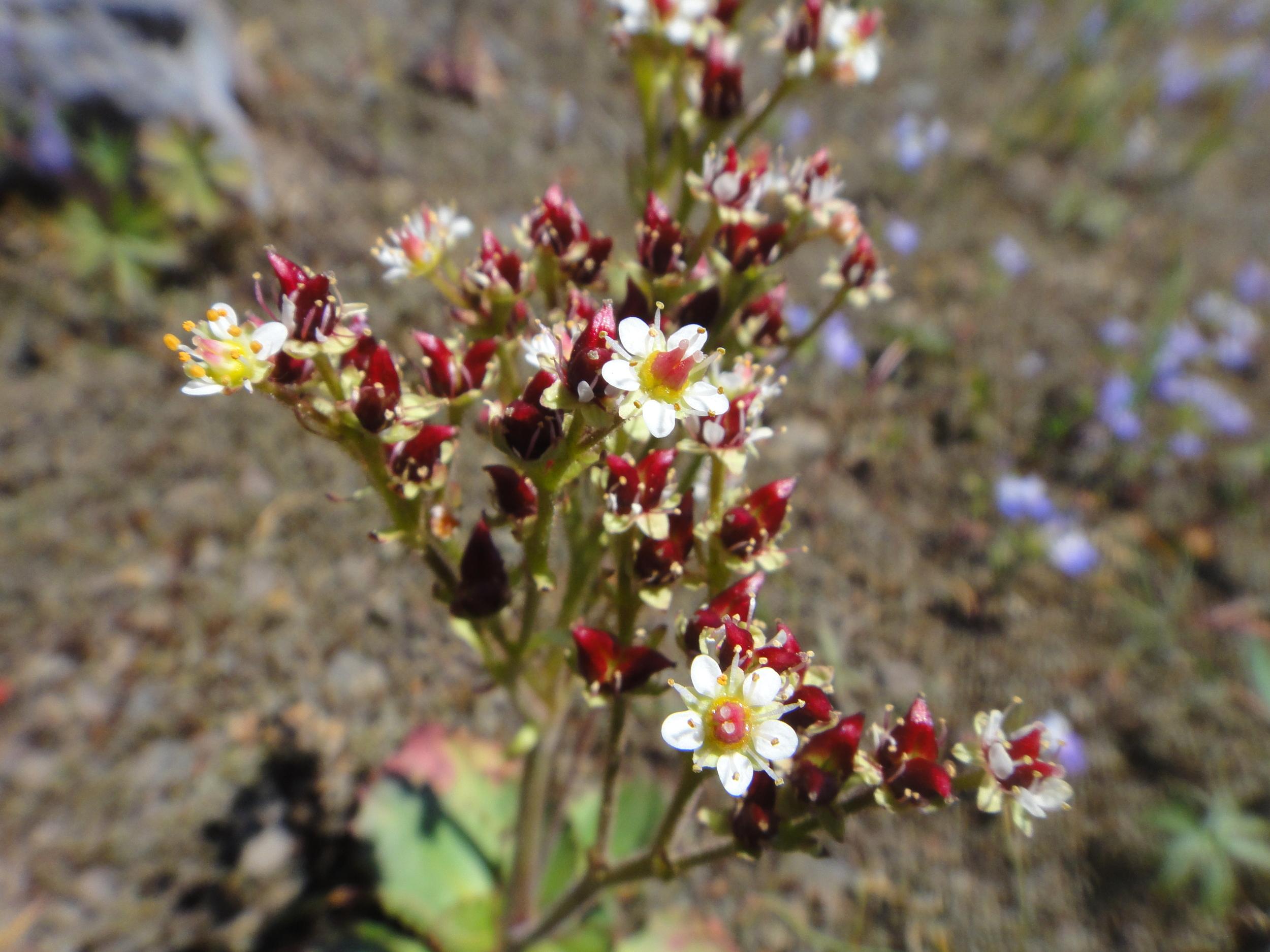 Micranthes rufidula , Cone Mtn, ORegon