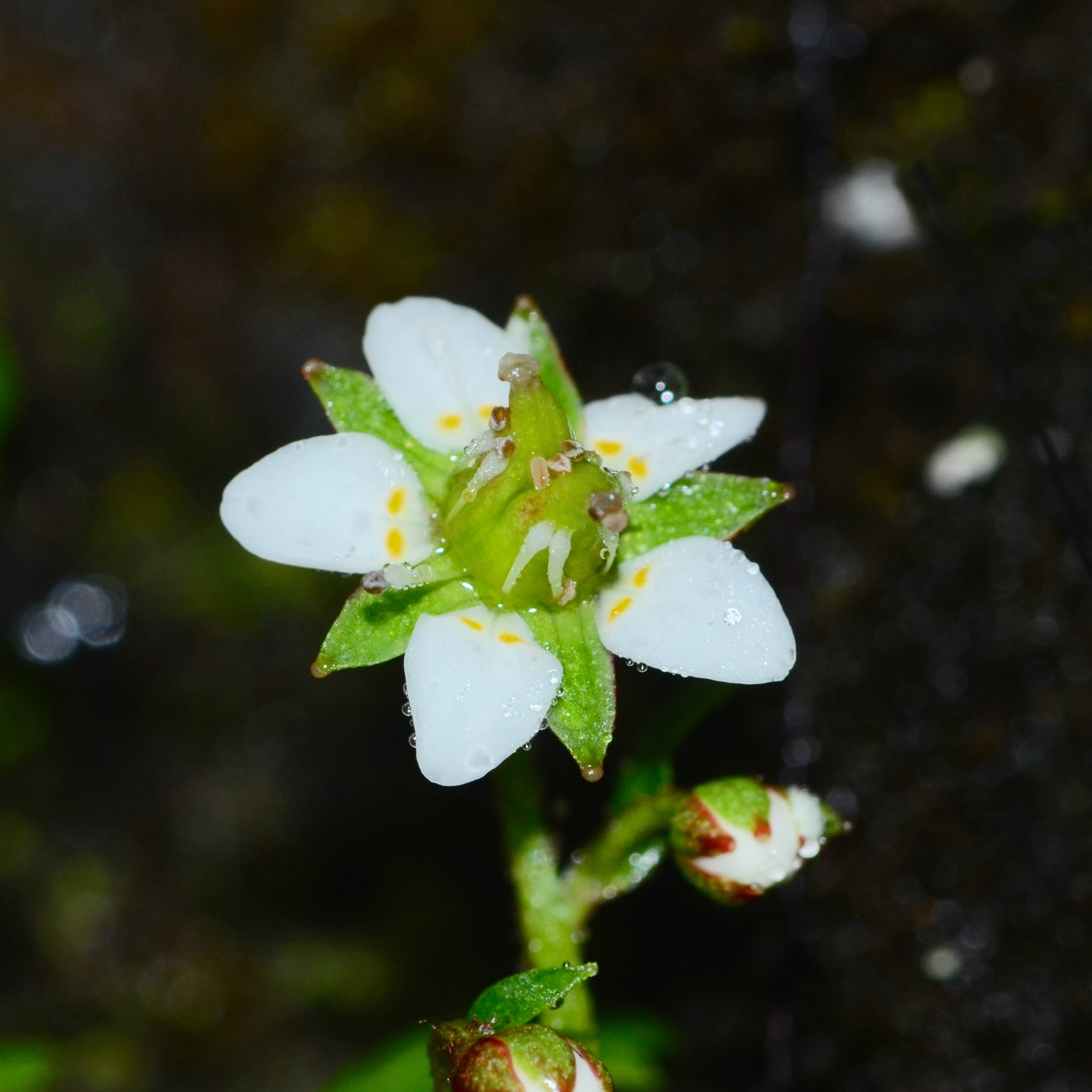 Micranthes clavistaminea  on mt. Jiaozi. Photo by Dr. Chun-lei Xiang.