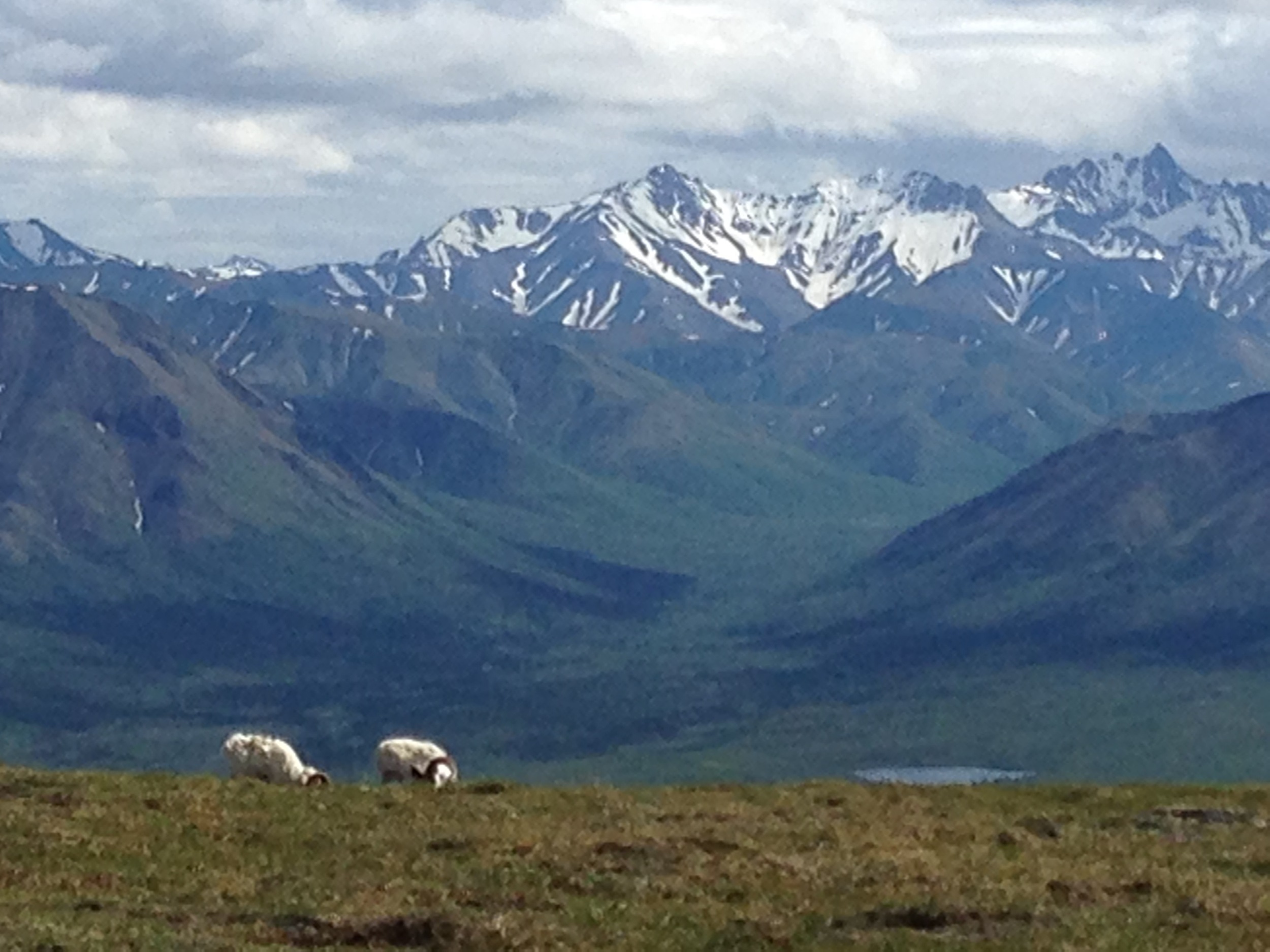 Dall sheep on Primrose ridge above the savage river with the Alaska Range in the background