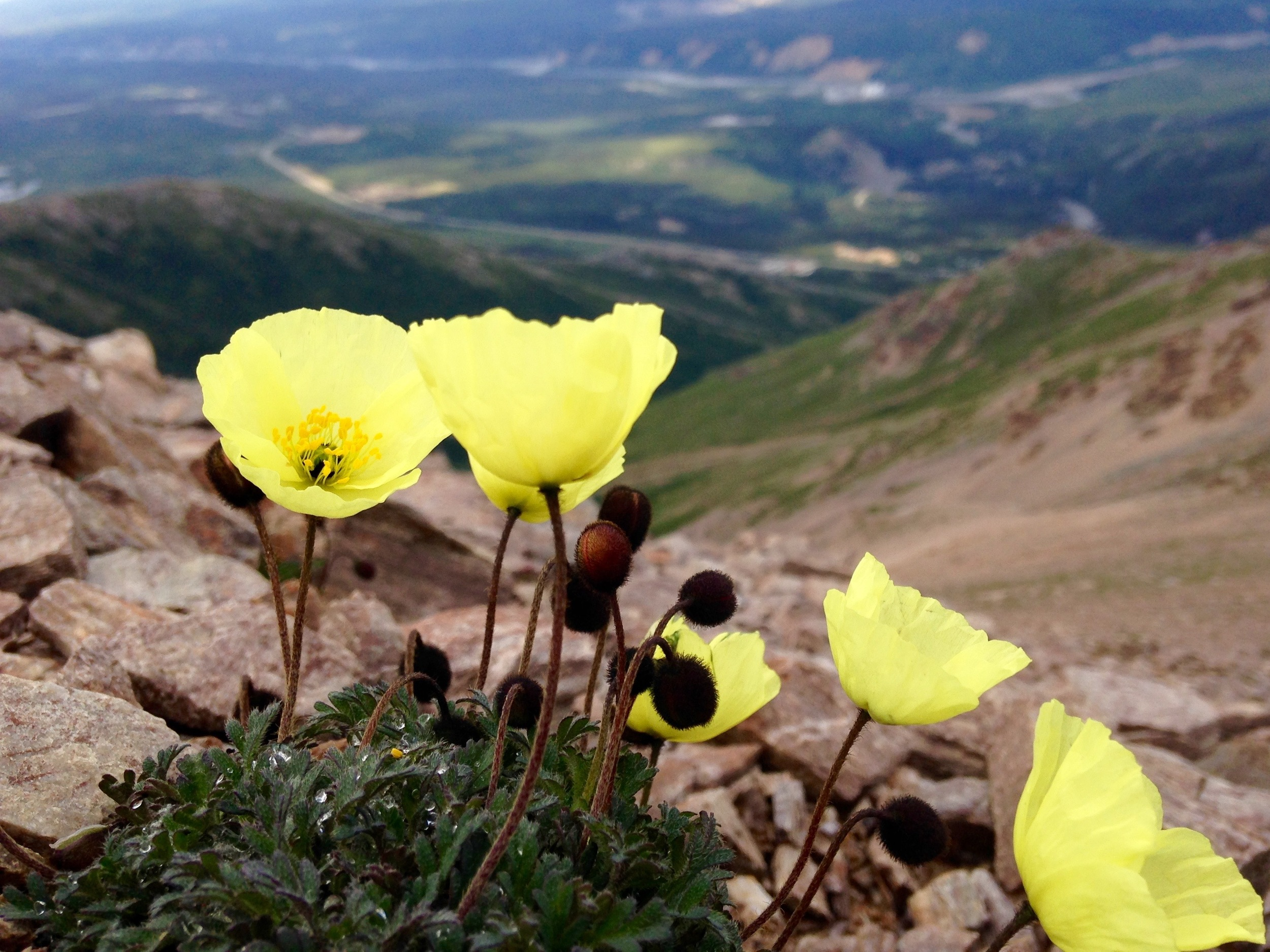 Poppies on Mount Healy. I've seen poppies before but I've neer seen poppies that are Dayglo yellow! Papaver Macounii.
