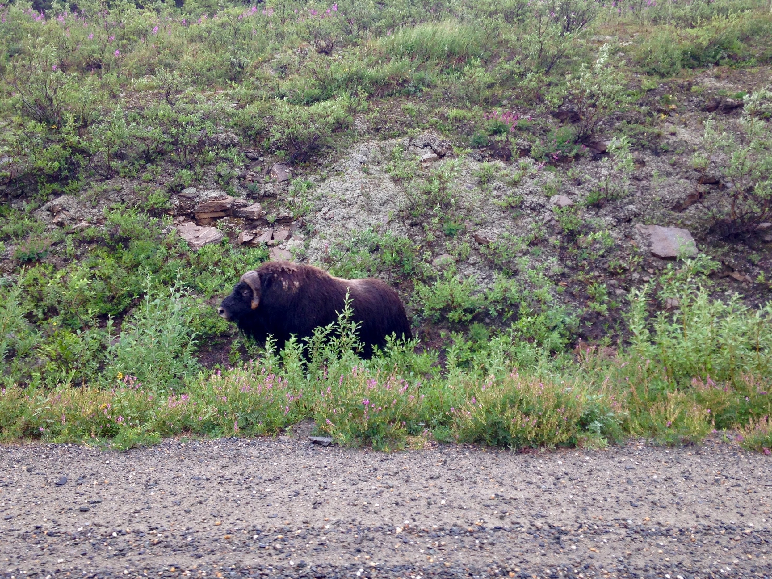 "Hey there Musk ox. You should now google ""baby musk ox"" - Your life will be better for it."