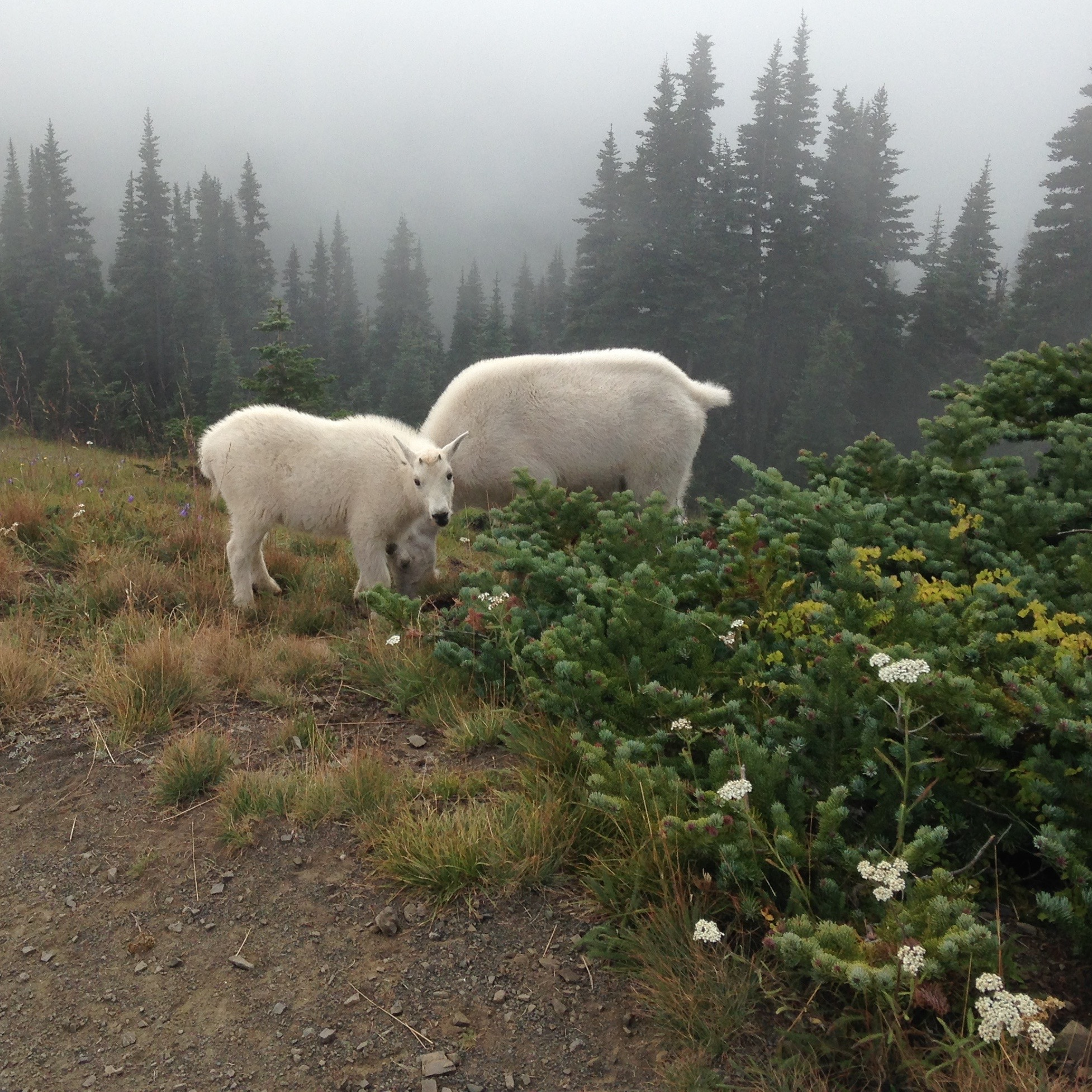 there was some cool Fauna at Olympic National Park.! Look at that baby mountain goat (aka  kid)!