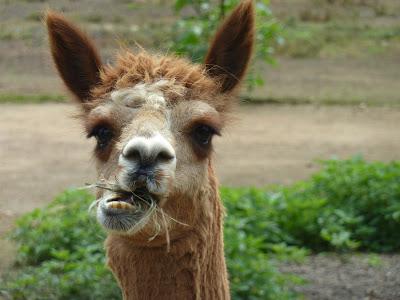 chewing alpaca