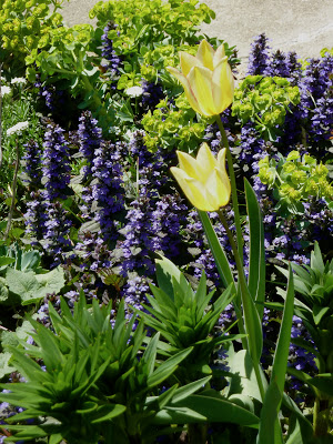 unnamed tulip with ajuga and euphorbia