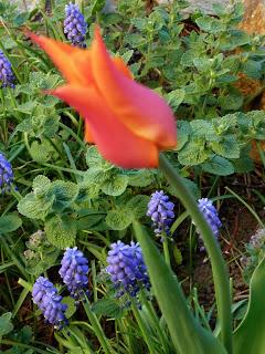 Lily-blooming tulip, Ballerina