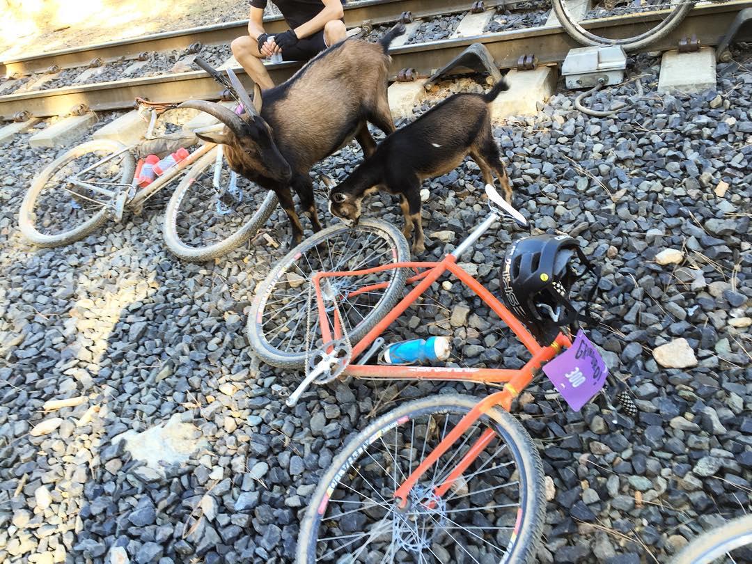 Goats like Bikes