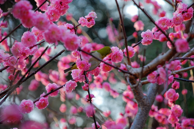 3-Plum_blossoms.jpg