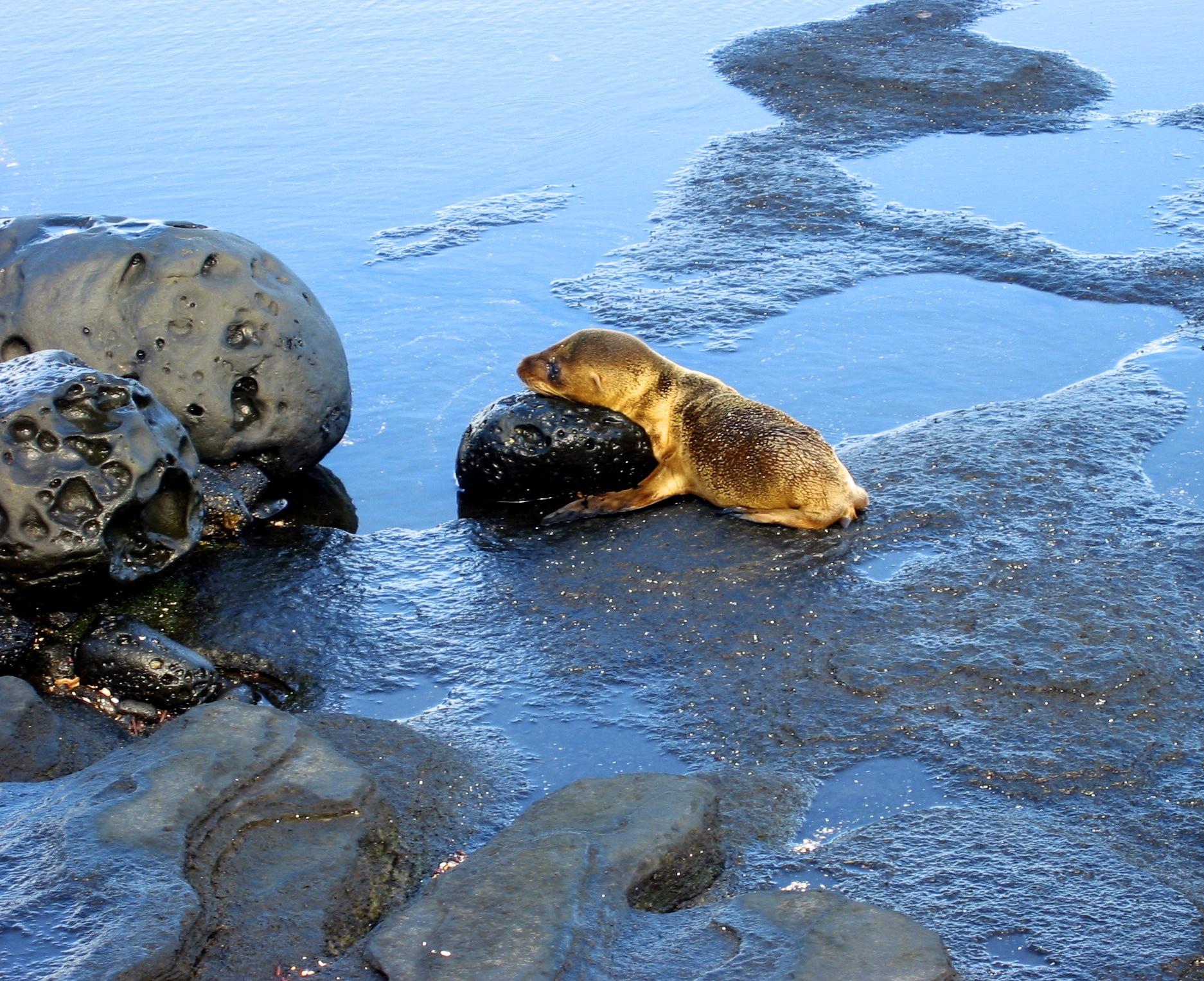 Newborn Sea Lion