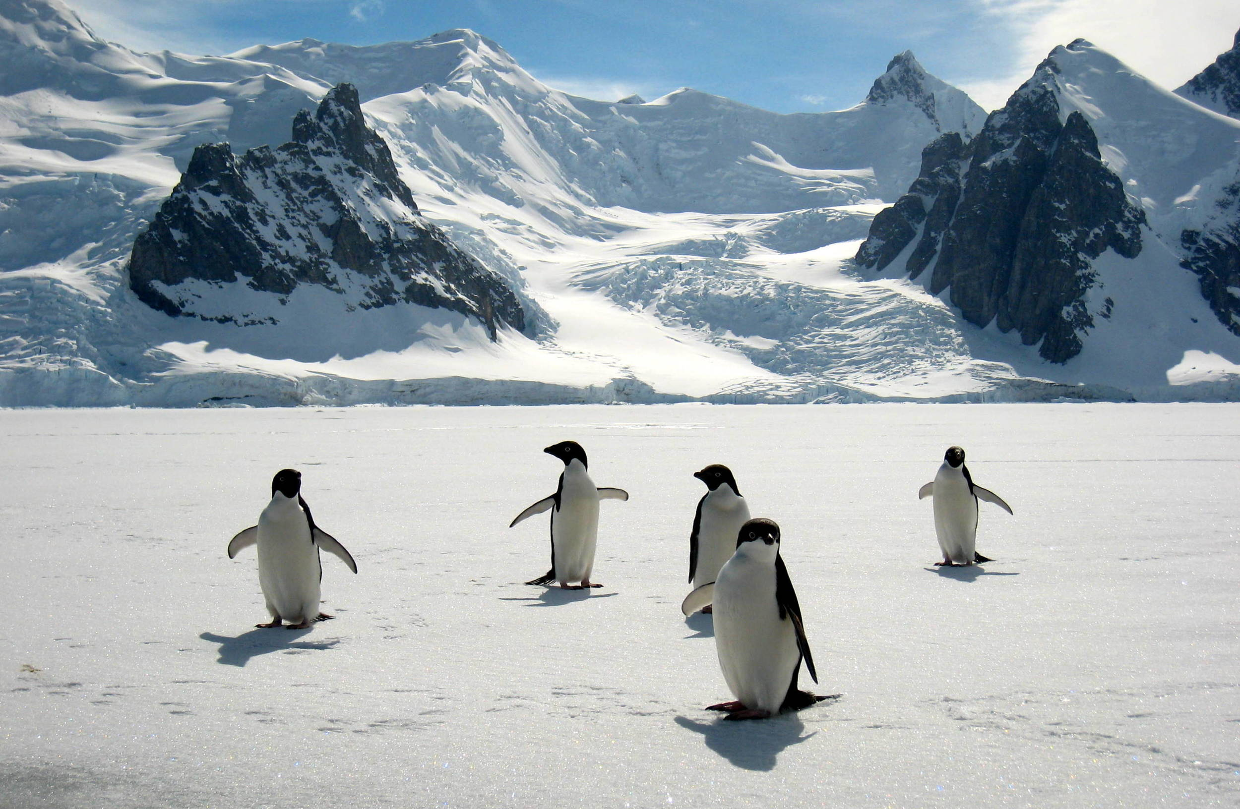 Adelie penguins standing on fast ice