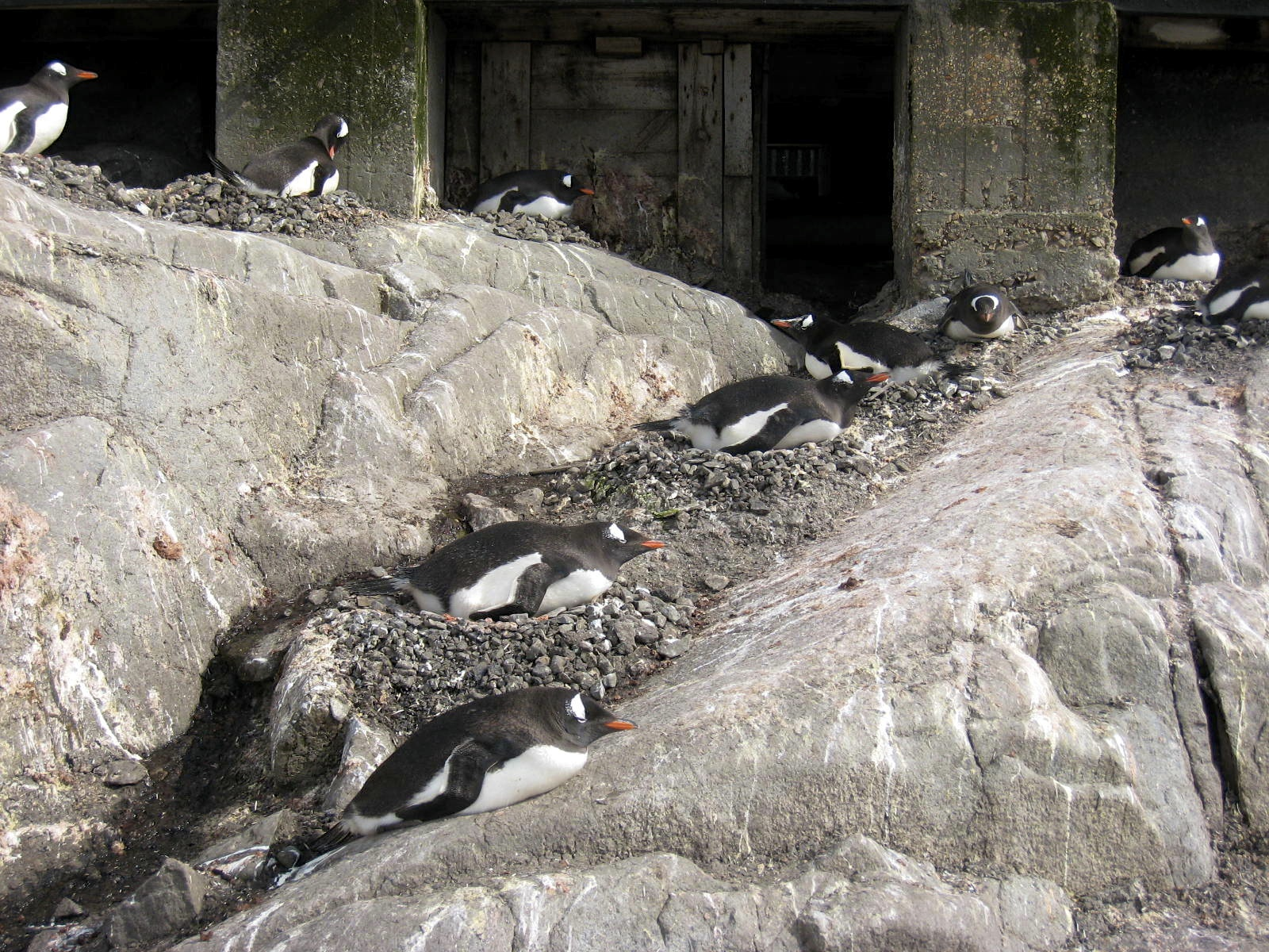 Nesting Gentoos under Port Lockroy post office.
