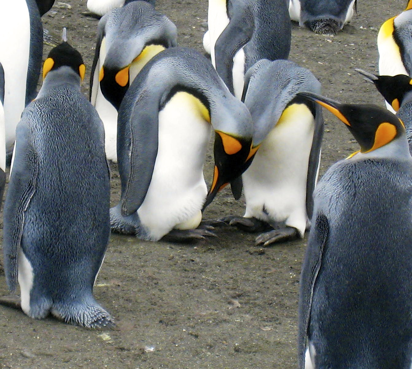 King penguin pair in process of passing the egg from one to the other.