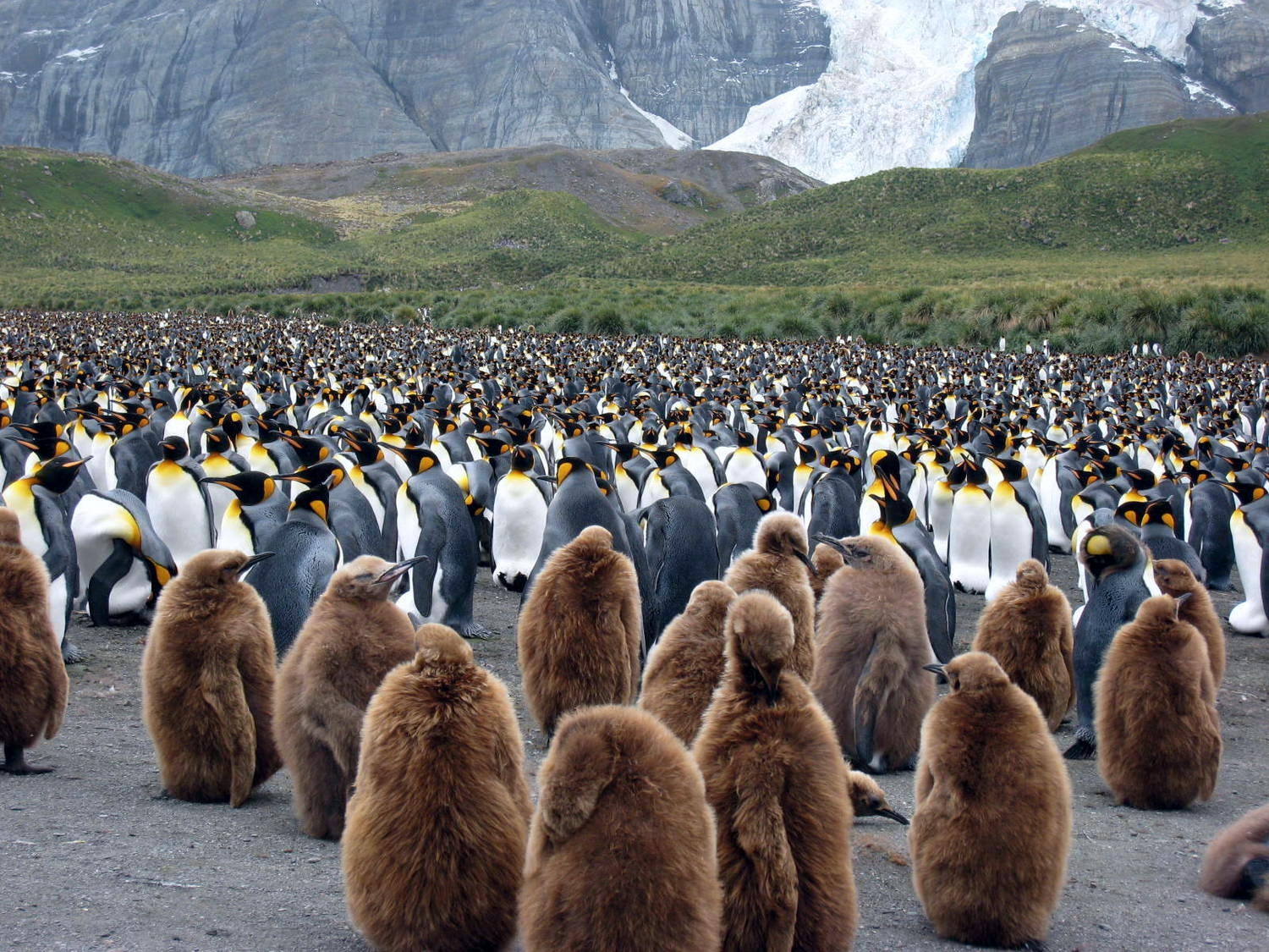 Brown juvenile King Penguins gather in a group called a creche.