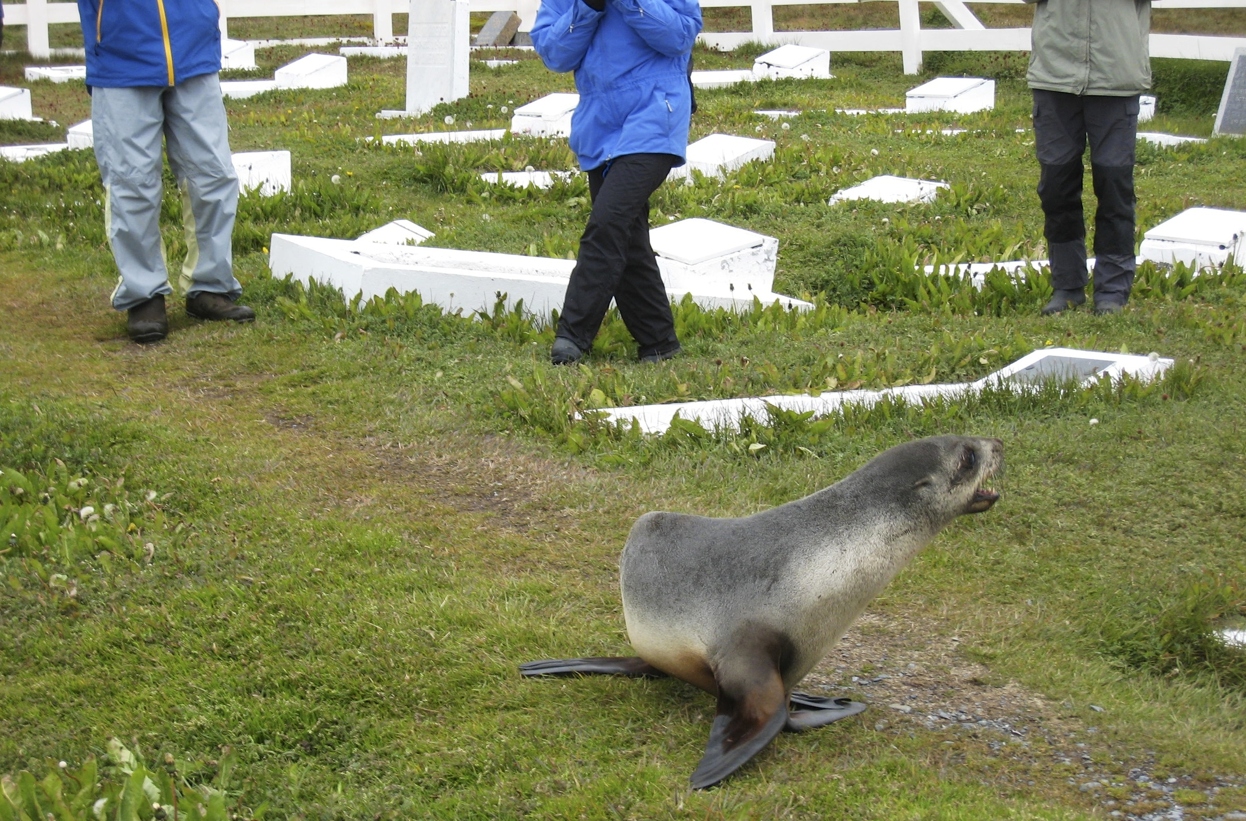 Chasing a Fur seal away before our memorial service around Shakleton's grave.