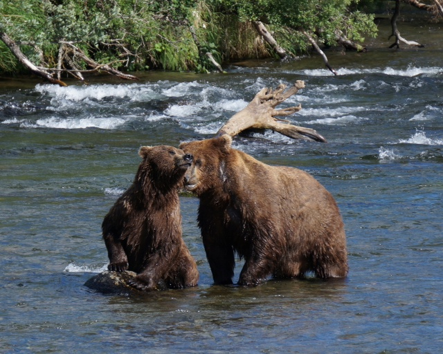 Grizzly Passion-Katmai, Brooks Falls