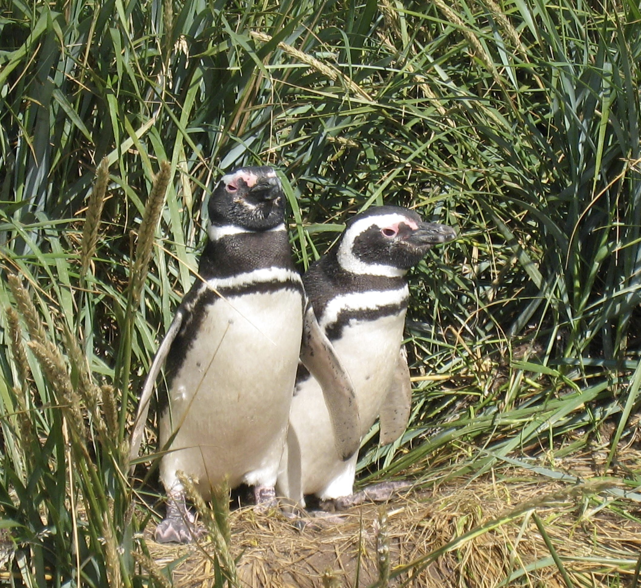 Magellanic Penguins, Nest in Burrows