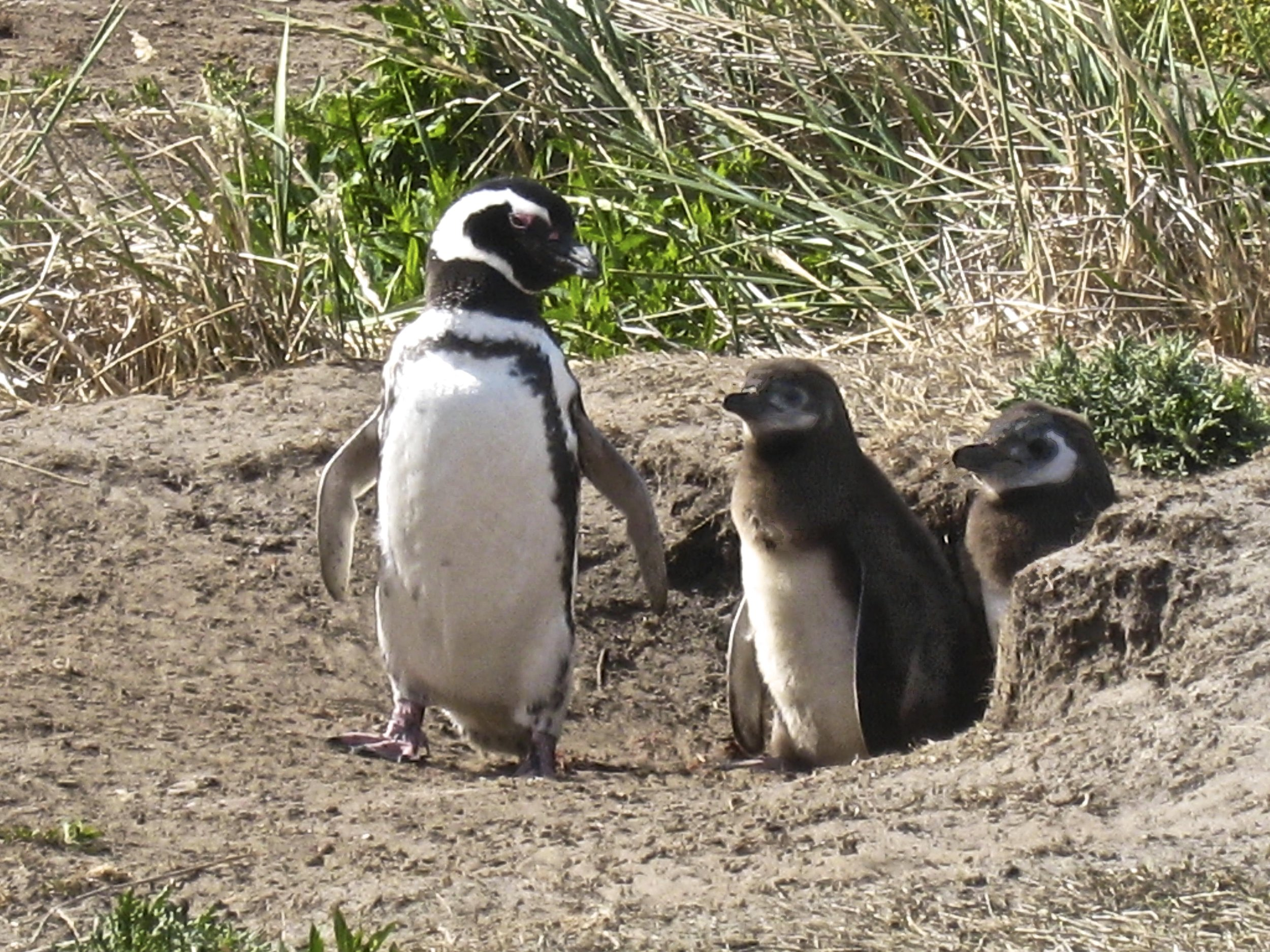 Magellanic Penguin Chicks in Burrow Nest