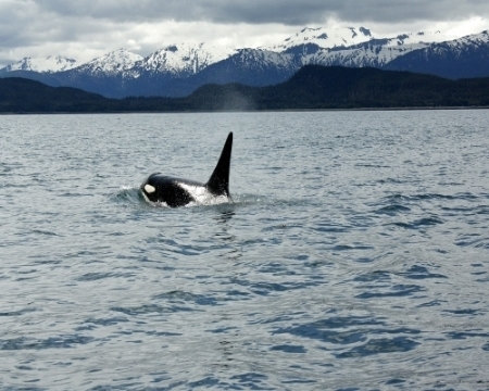 19519417-MeganLocker_AlaskanOrca_Photography_8x10_100.jpg