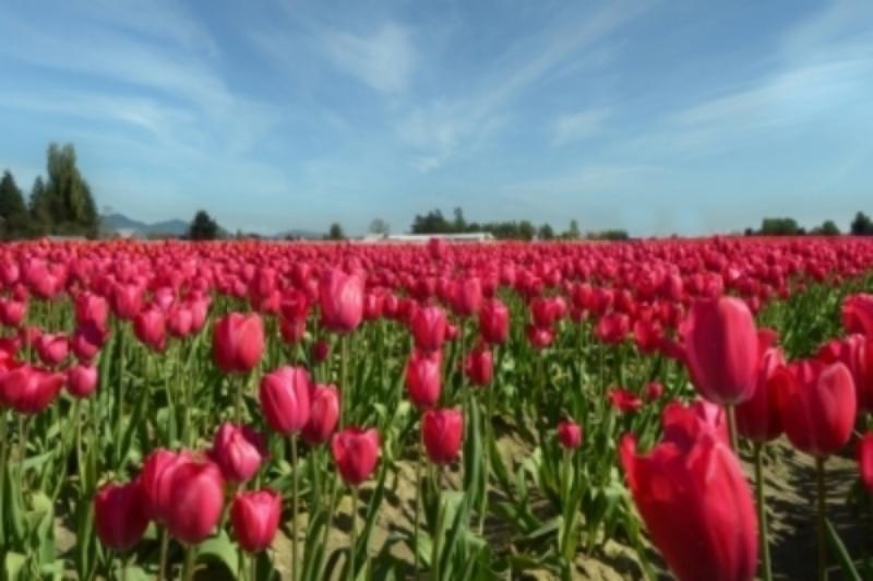 _Red+tulips+field+in+Spring1000.jpg