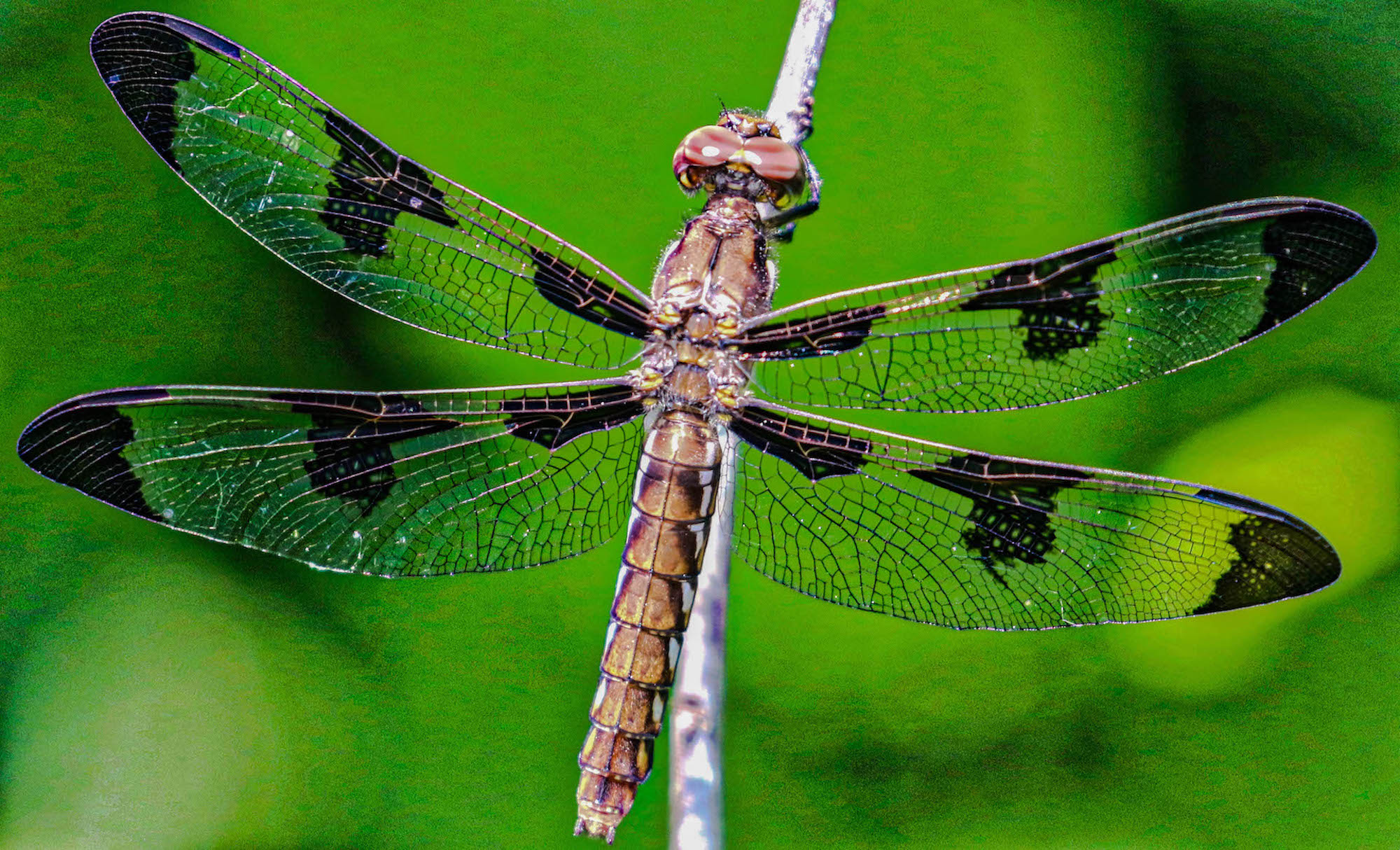 Resting Dragonfly by Margaret King