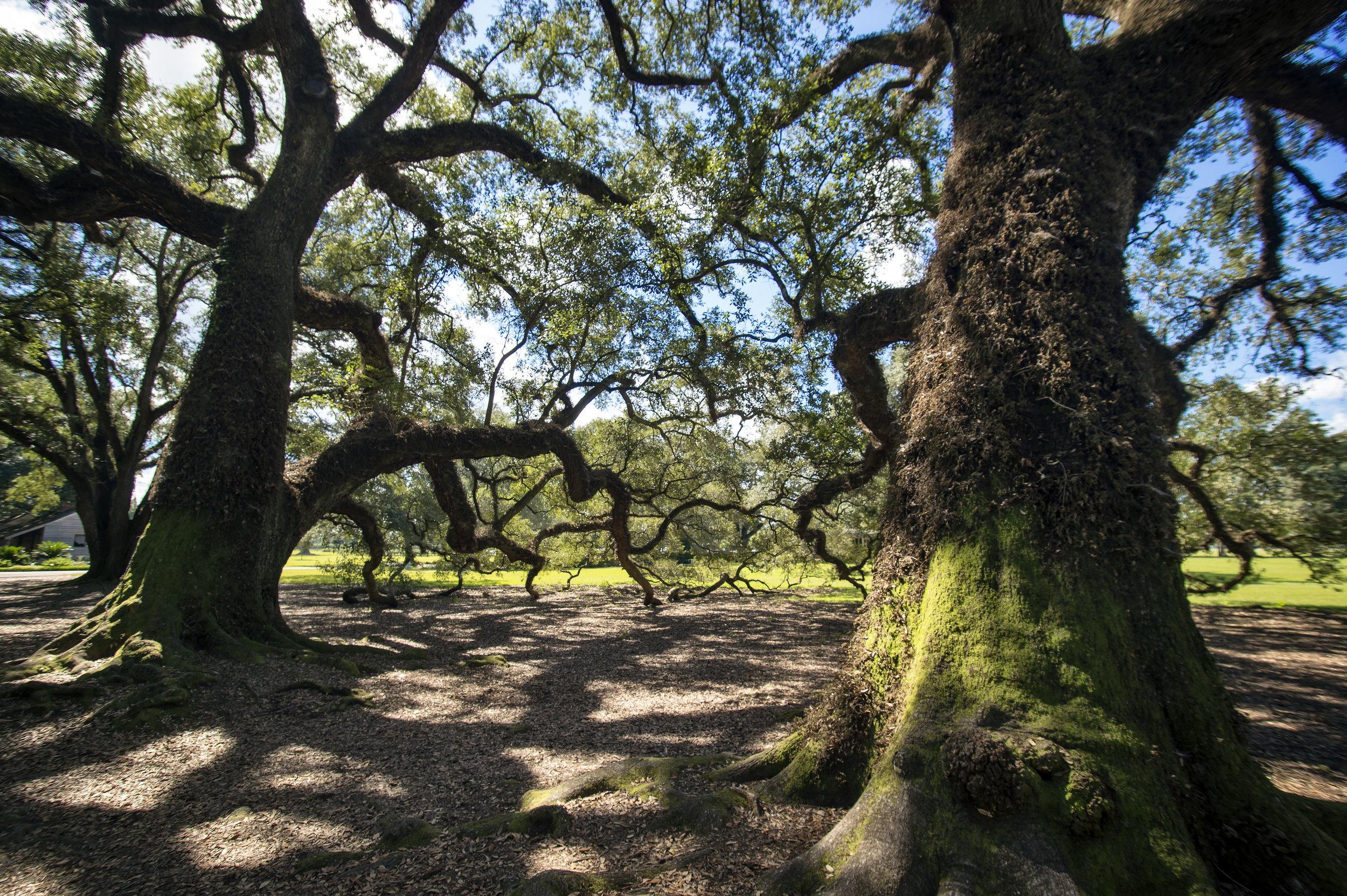 """""""Oak Alley (Louisiana)"""" by Jeremiah Gilbert"""