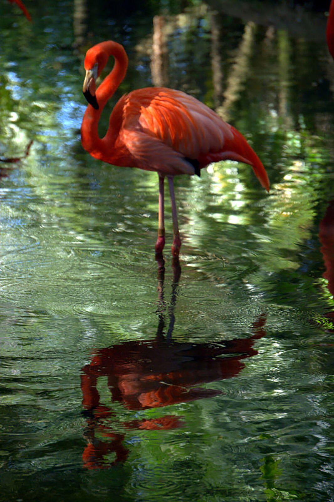 """Flamingo Reflection"" by Nancy Pallowick"