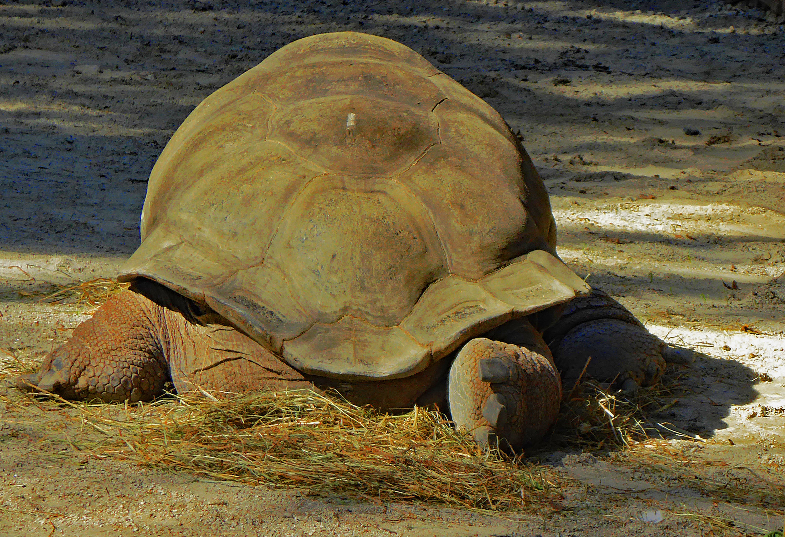"""""""Tortoise"""" by Marcia Berg Haskell"""