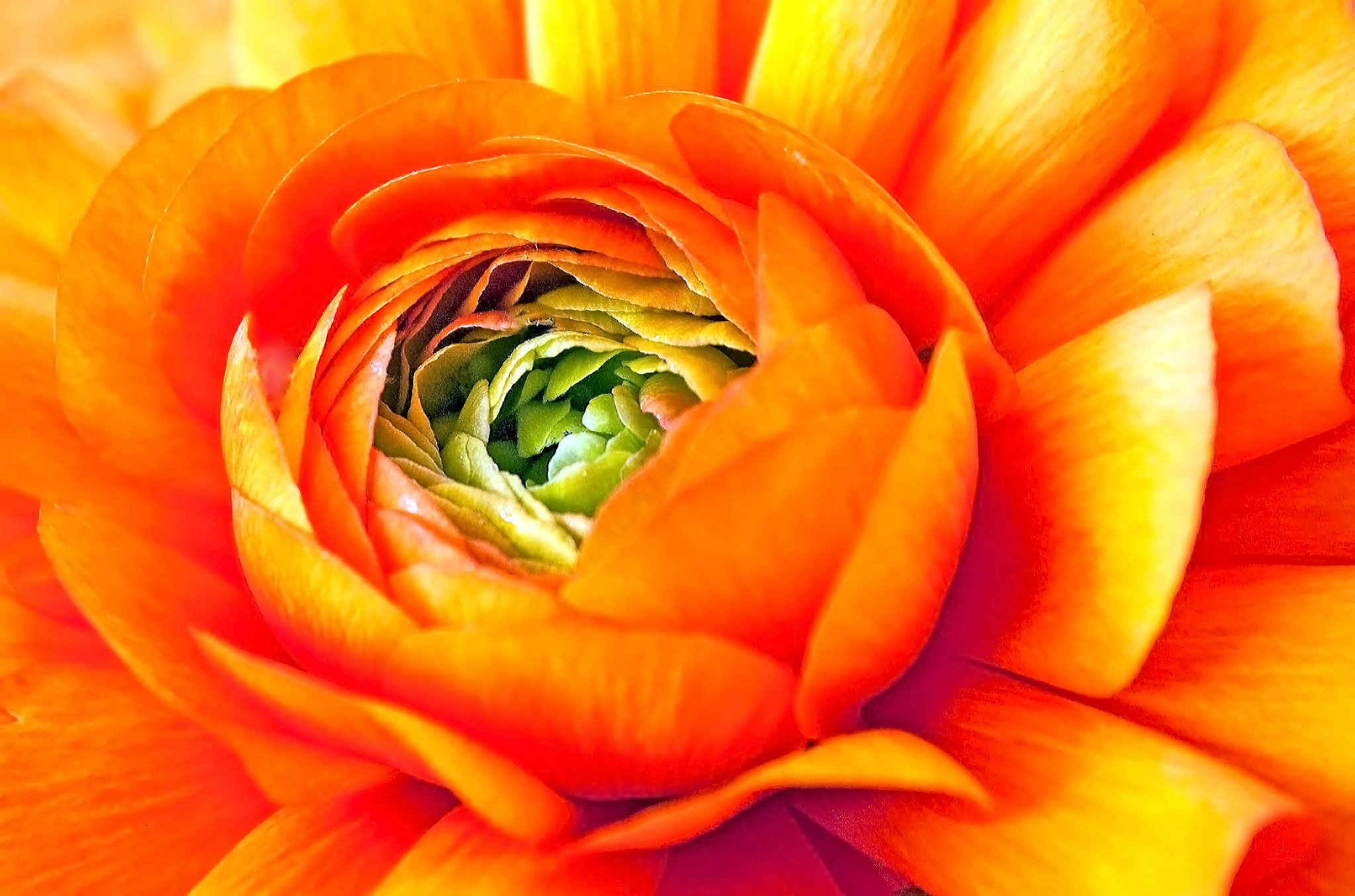 20496938-Ranculus Revisited Two.jpg