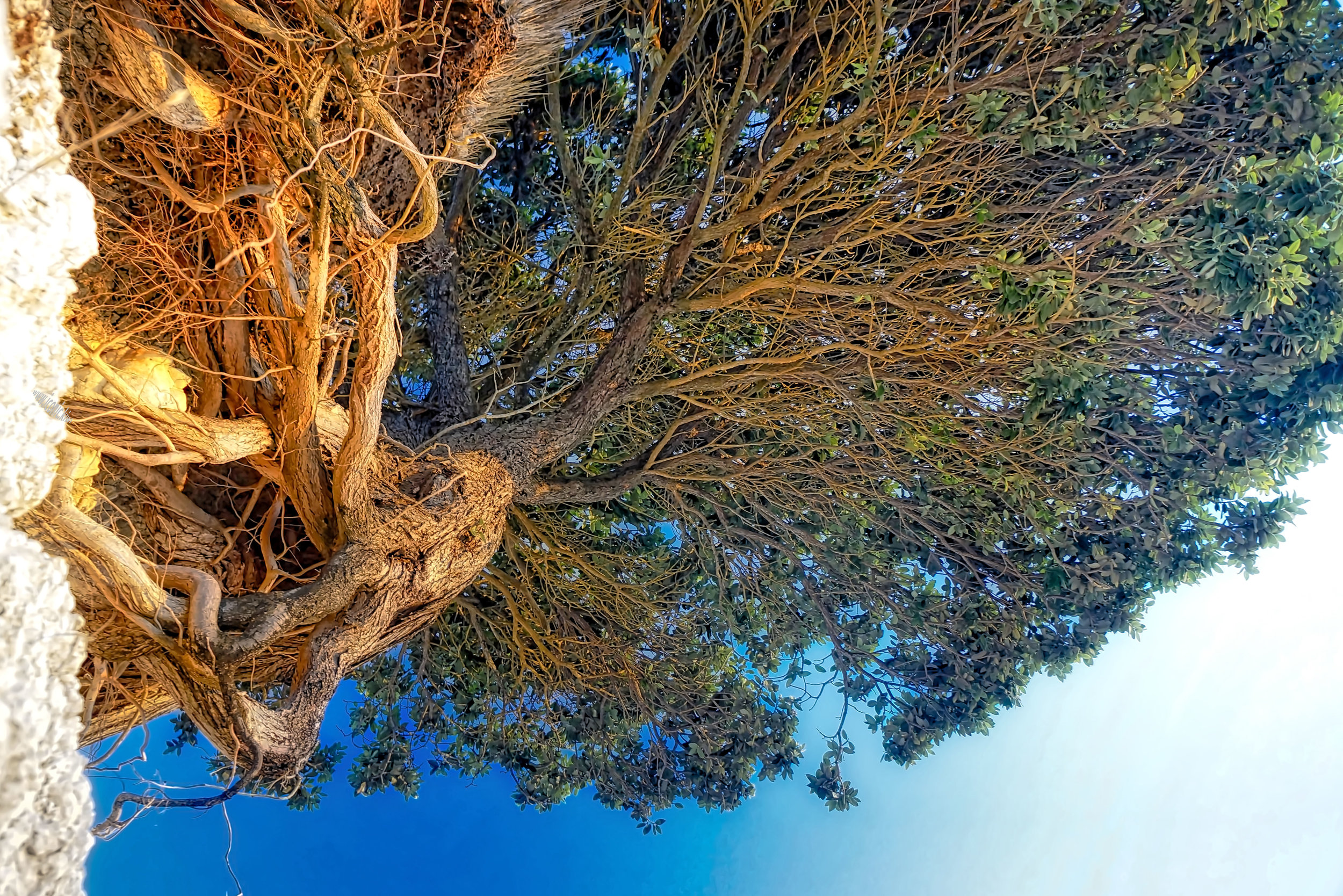 Pohutukawa tree clinging onto a cliff above Omāpere beach in Northland, New Zealand