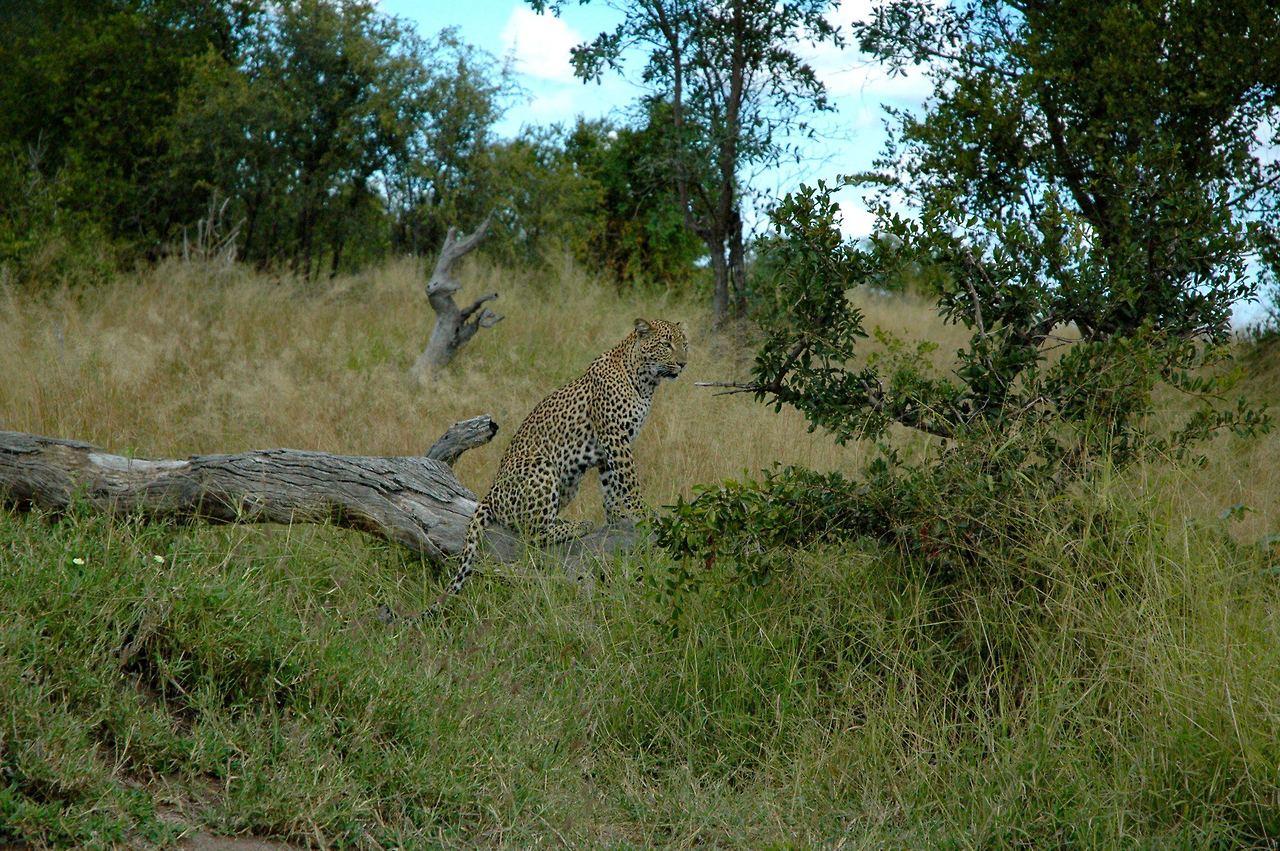 LeopardSafariPic.jpg