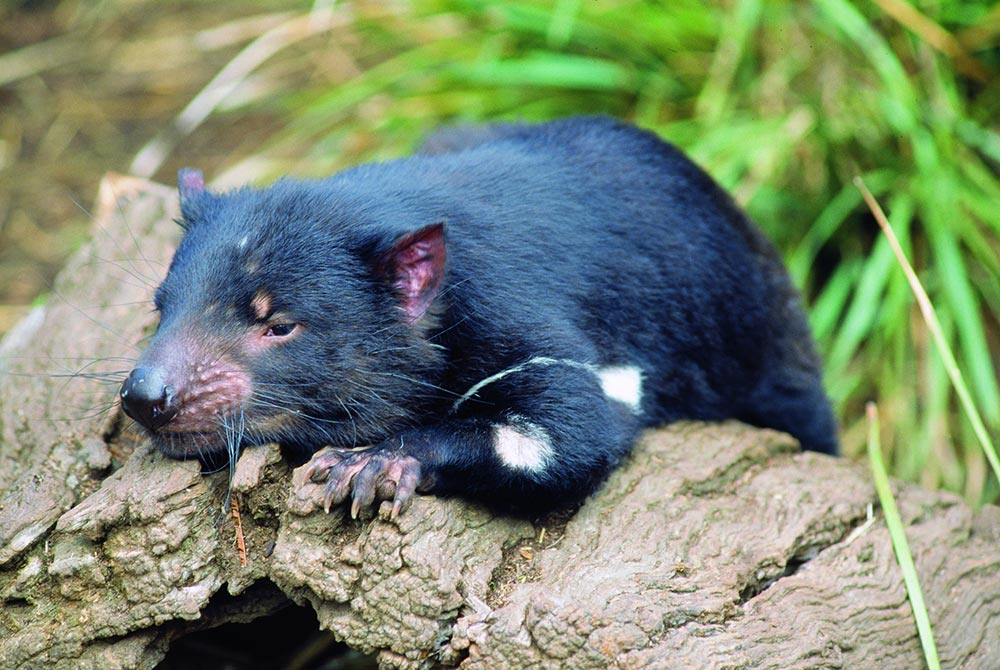 Tasmanian-Devil.jpg