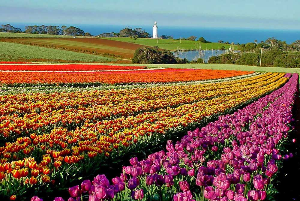 Table-Cape---Tulip-Farm---1.jpg