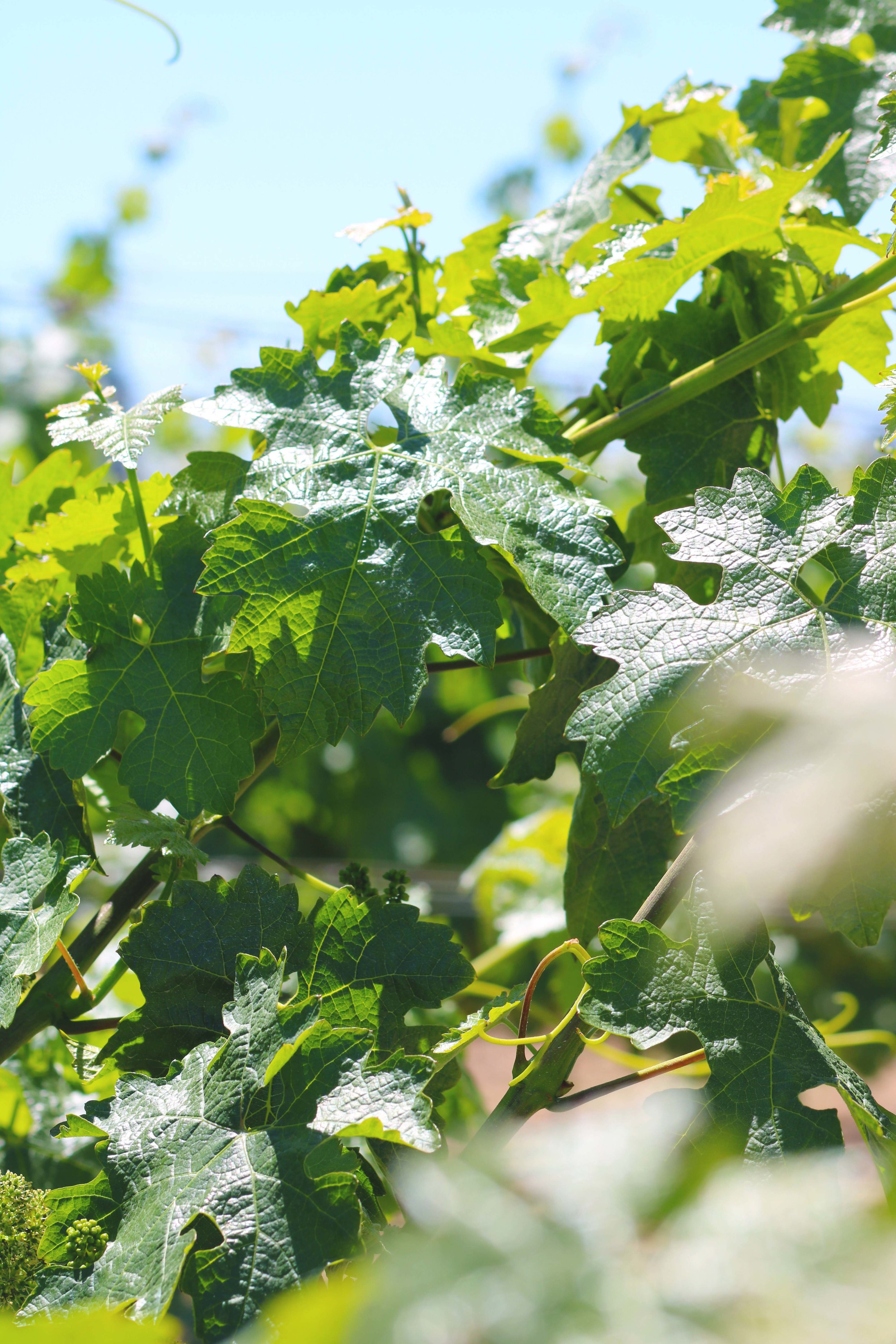napa valley grape leaves andretti winery