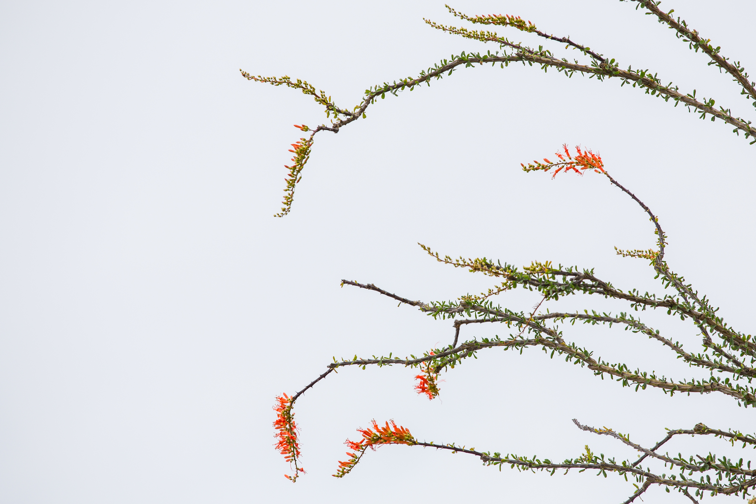 Ocotillo Plant in Bloom