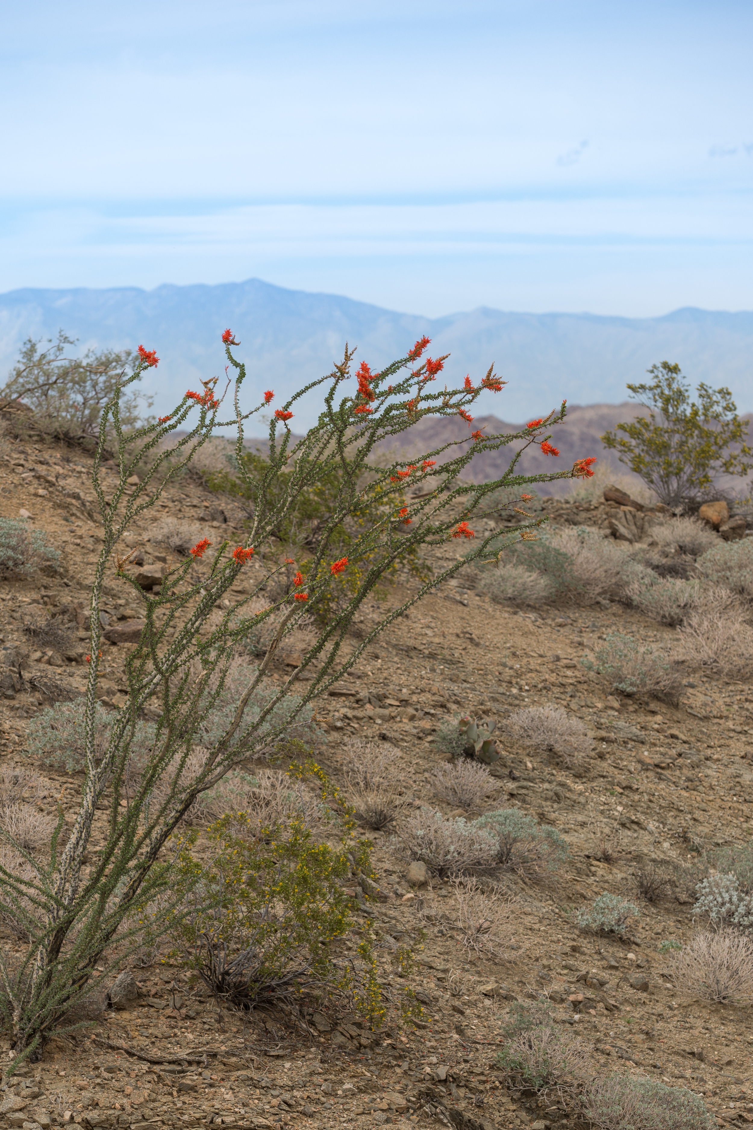 Blooming Ocotillo Plant above Coachella Valley.